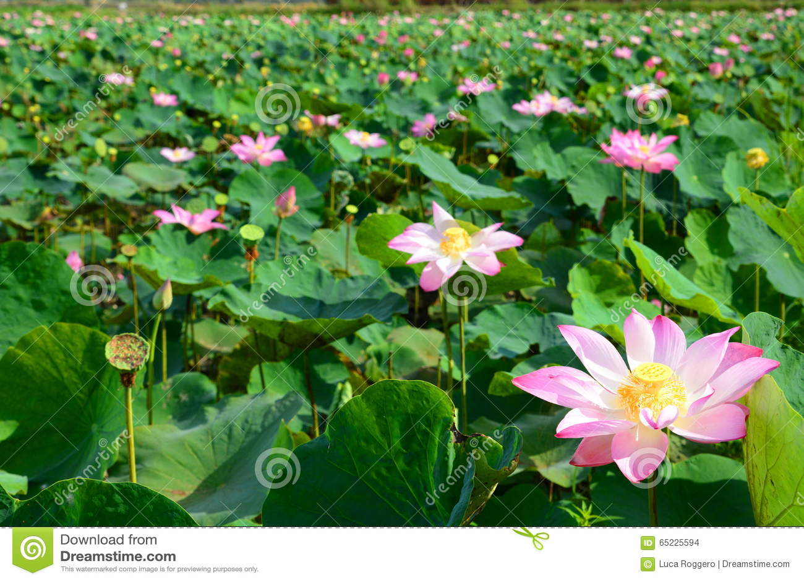 Lotosowych kwiatów pole Długi Xuyen Wietnam