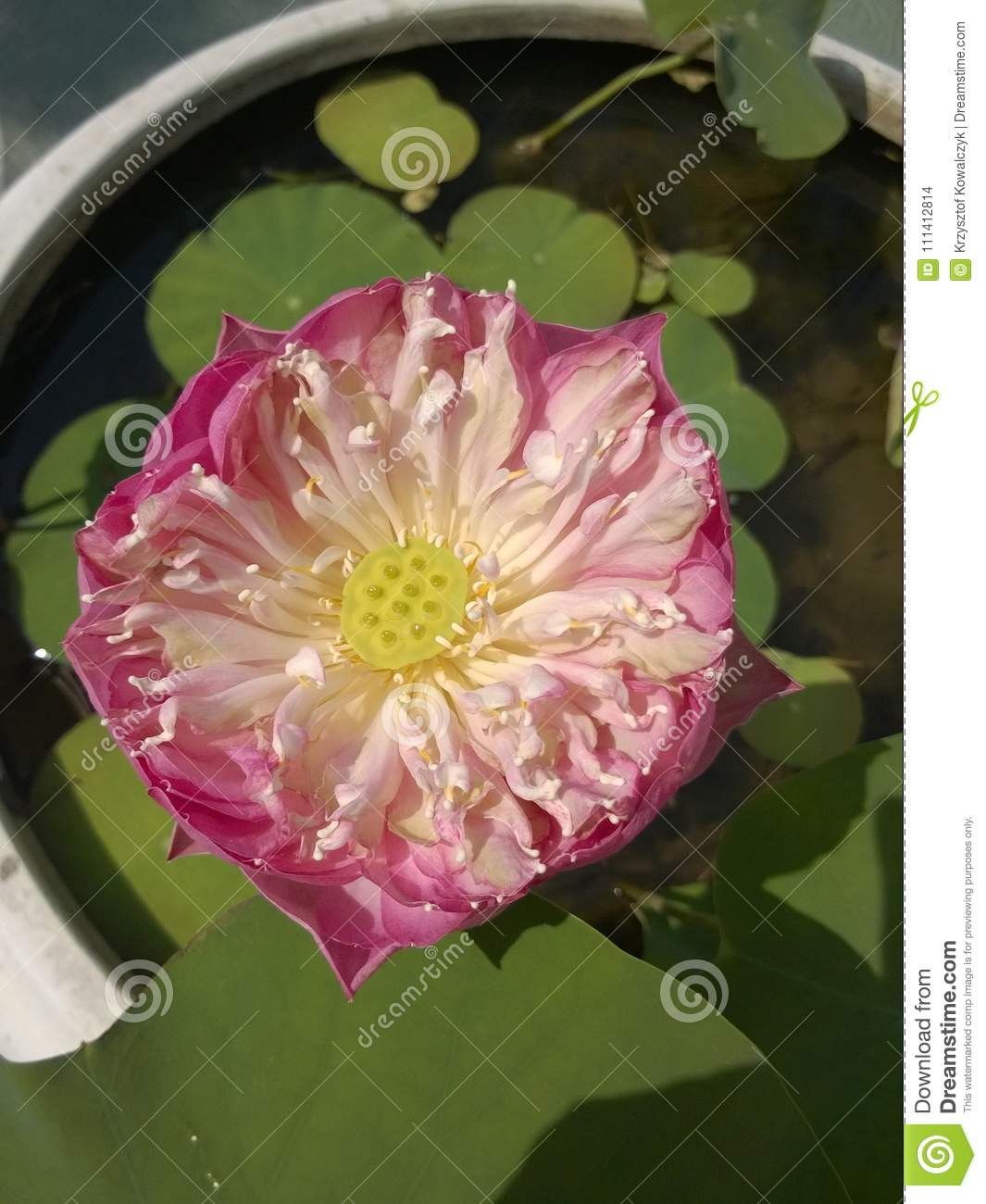 Lotus Flower Decoration Pink Water Lily Flower In A Big Flowerpot