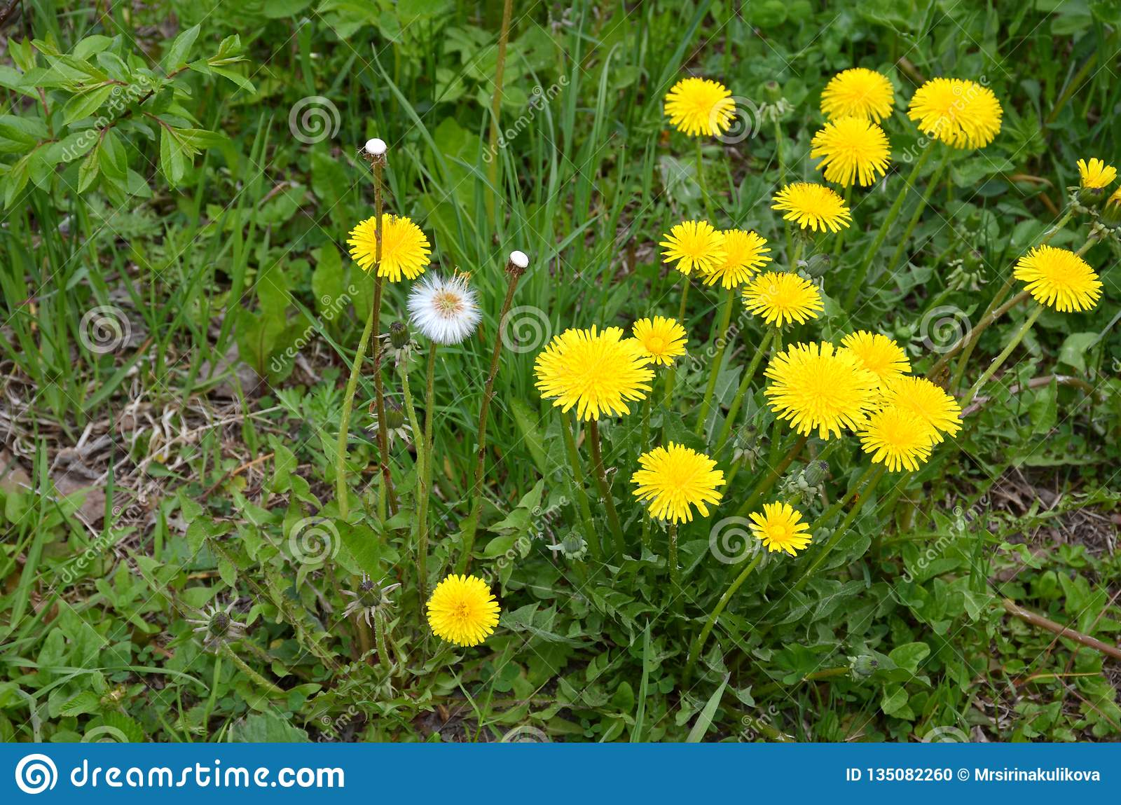 Dandelion On The Lawn Of Green Grass Stock Photo ...