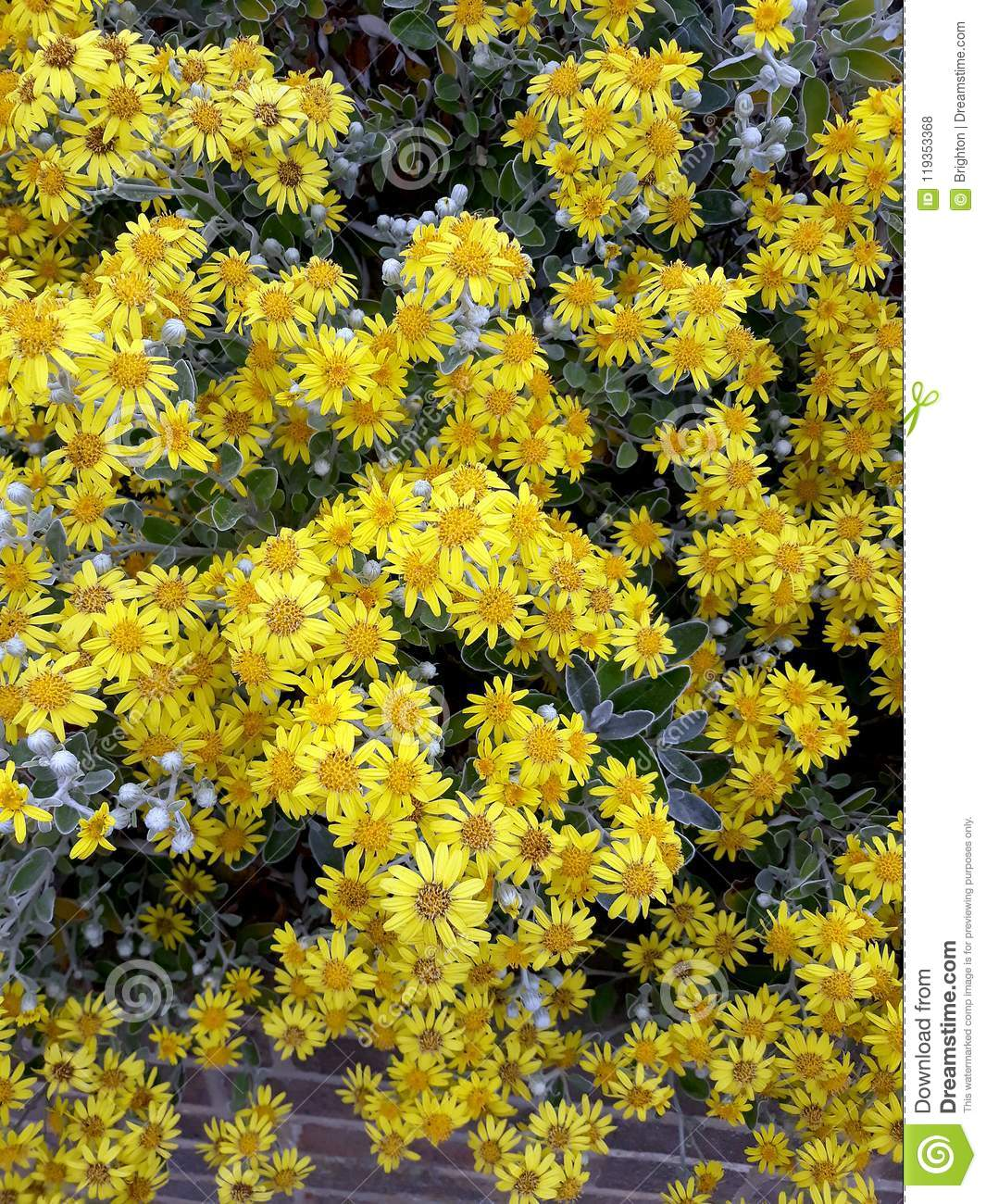 Lots Of Bright Yellow Brachyglottis Sunshine Shrub Stock Photo