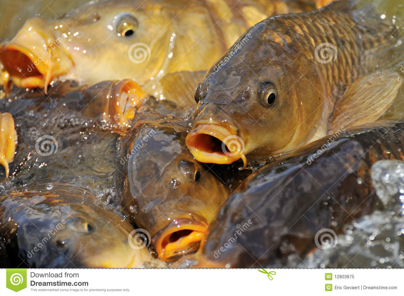 Lots of carp fish stock image image of rods background for Lots of fish