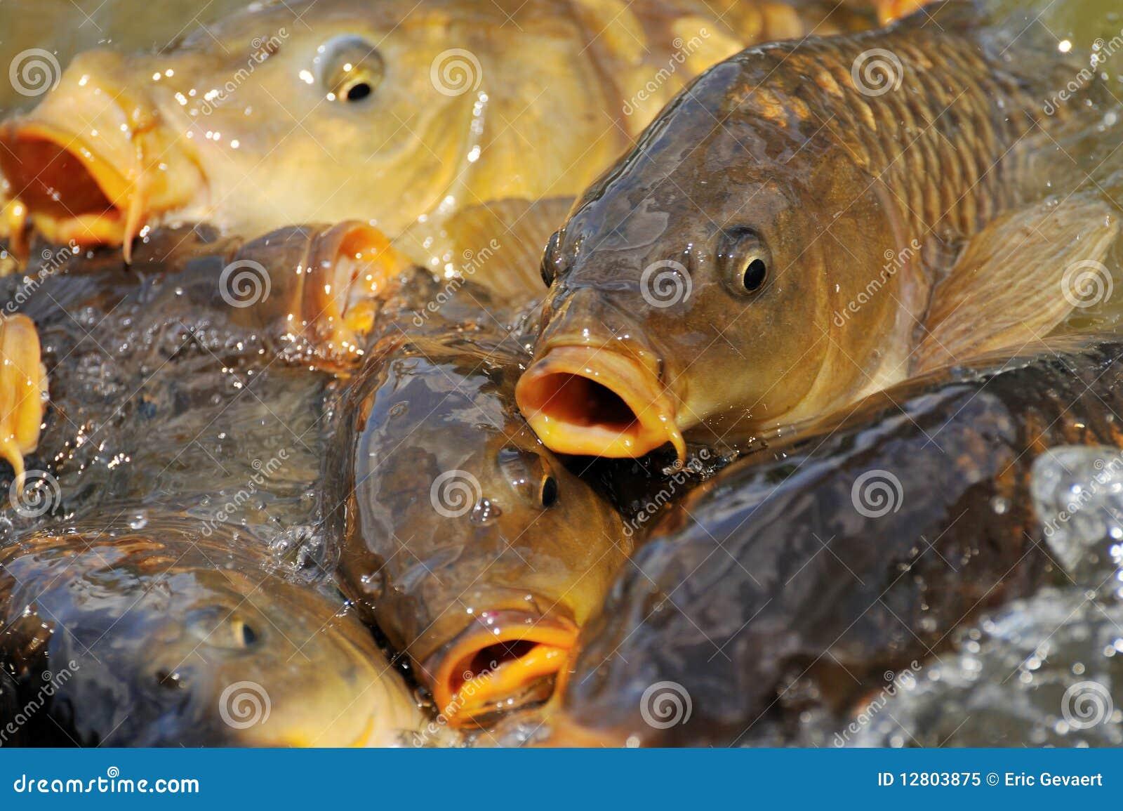 Lots of carp fish royalty free stock photo image 12803875 for Lot of fish