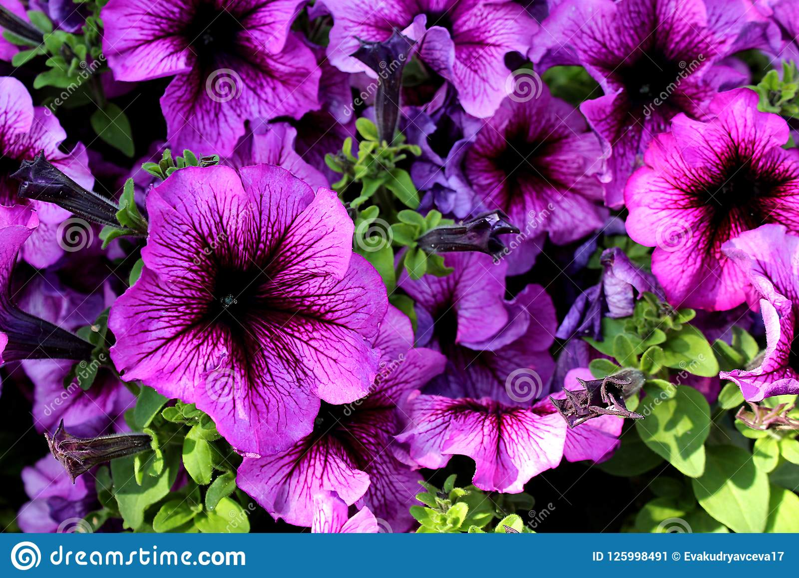 Lots Of Flowers Growing Outdoors Purple Color Stock Image Image Of