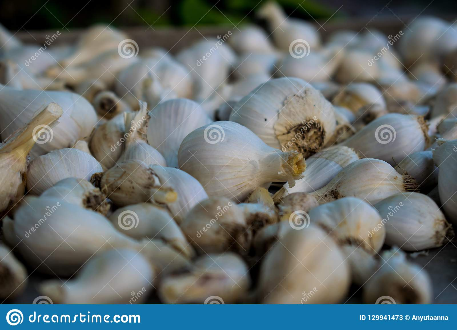 Lots of garlic on a metal tray. White garlic heads in the husk