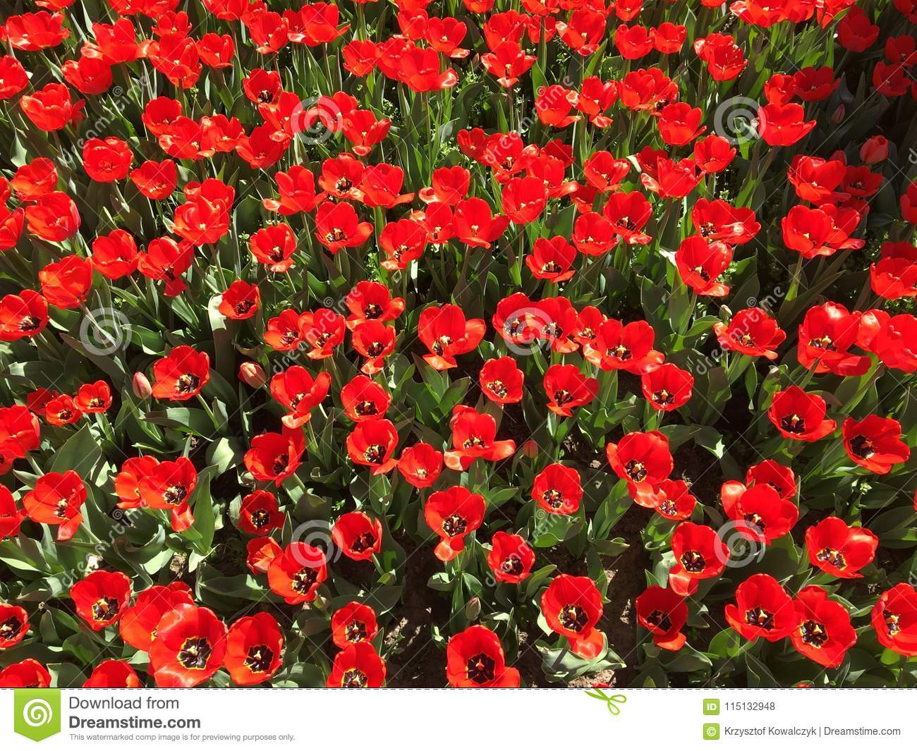 Lots of red tulip flowers name big chief stock photo image of download lots of red tulip flowers name big chief stock photo image of mightylinksfo