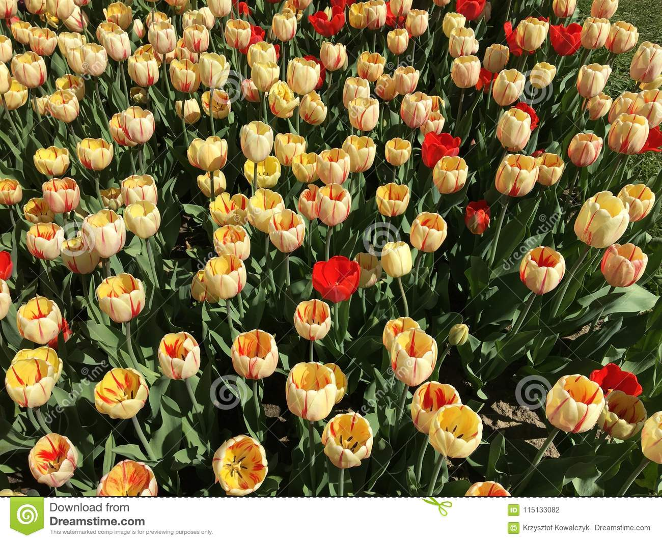 Lots Of Red And Yellow Tulip Flowers Name Burning Heart Stock