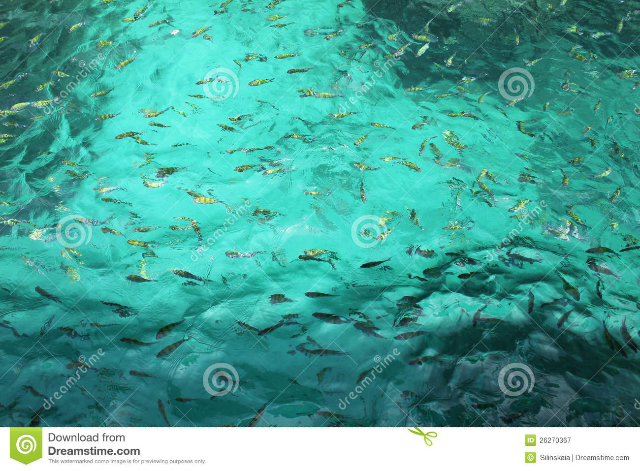 Lots of small fish in the turquoise water stock image for Lots of fish
