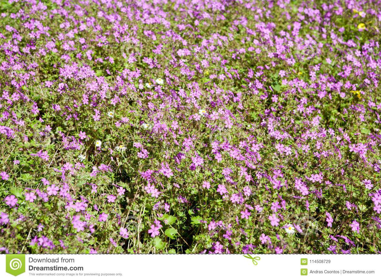 Lots of small purple flowers on a meadow for backgrounds