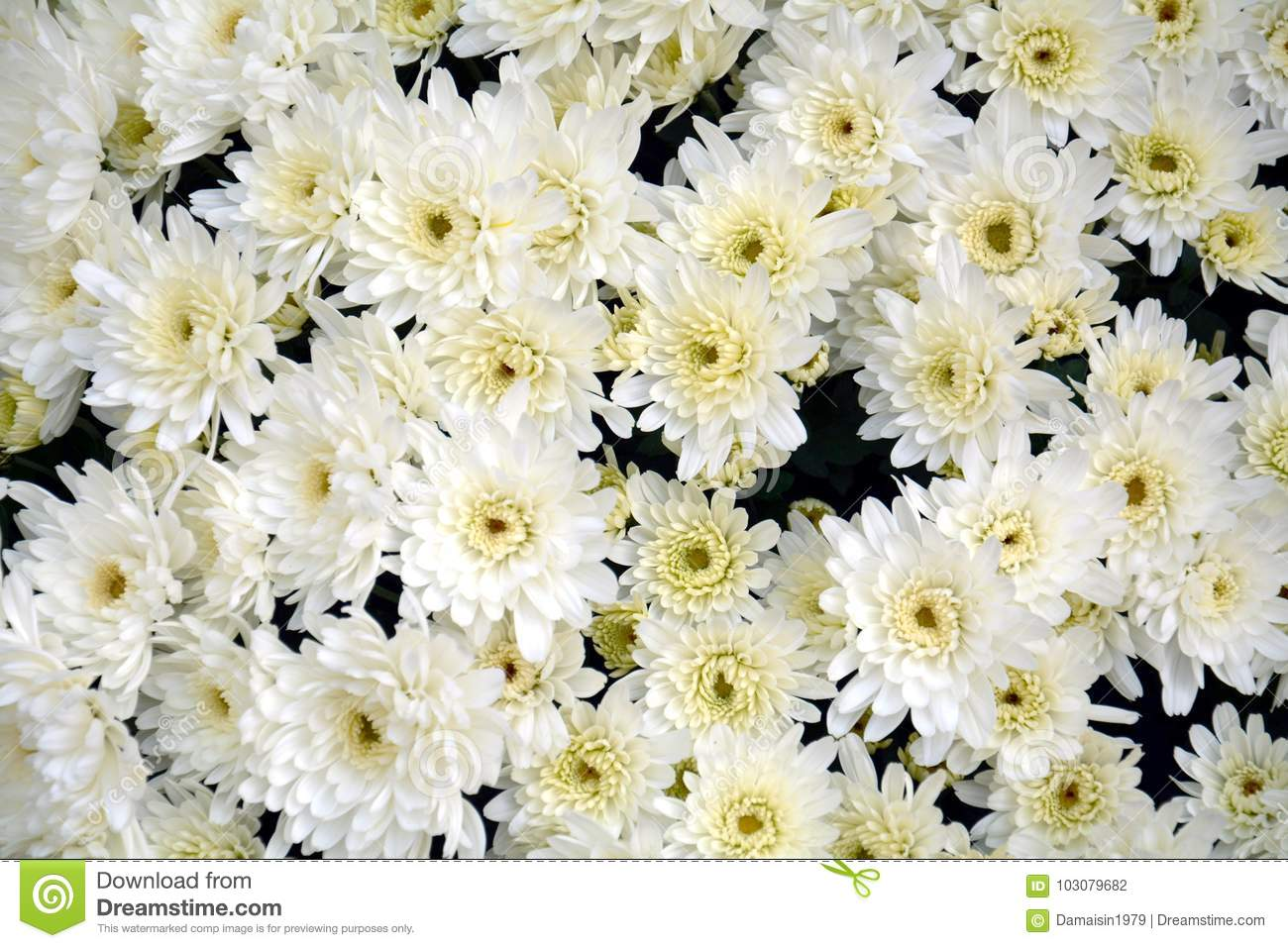 Lots Of White Flowers And Petals Natural Background Garden Beauty