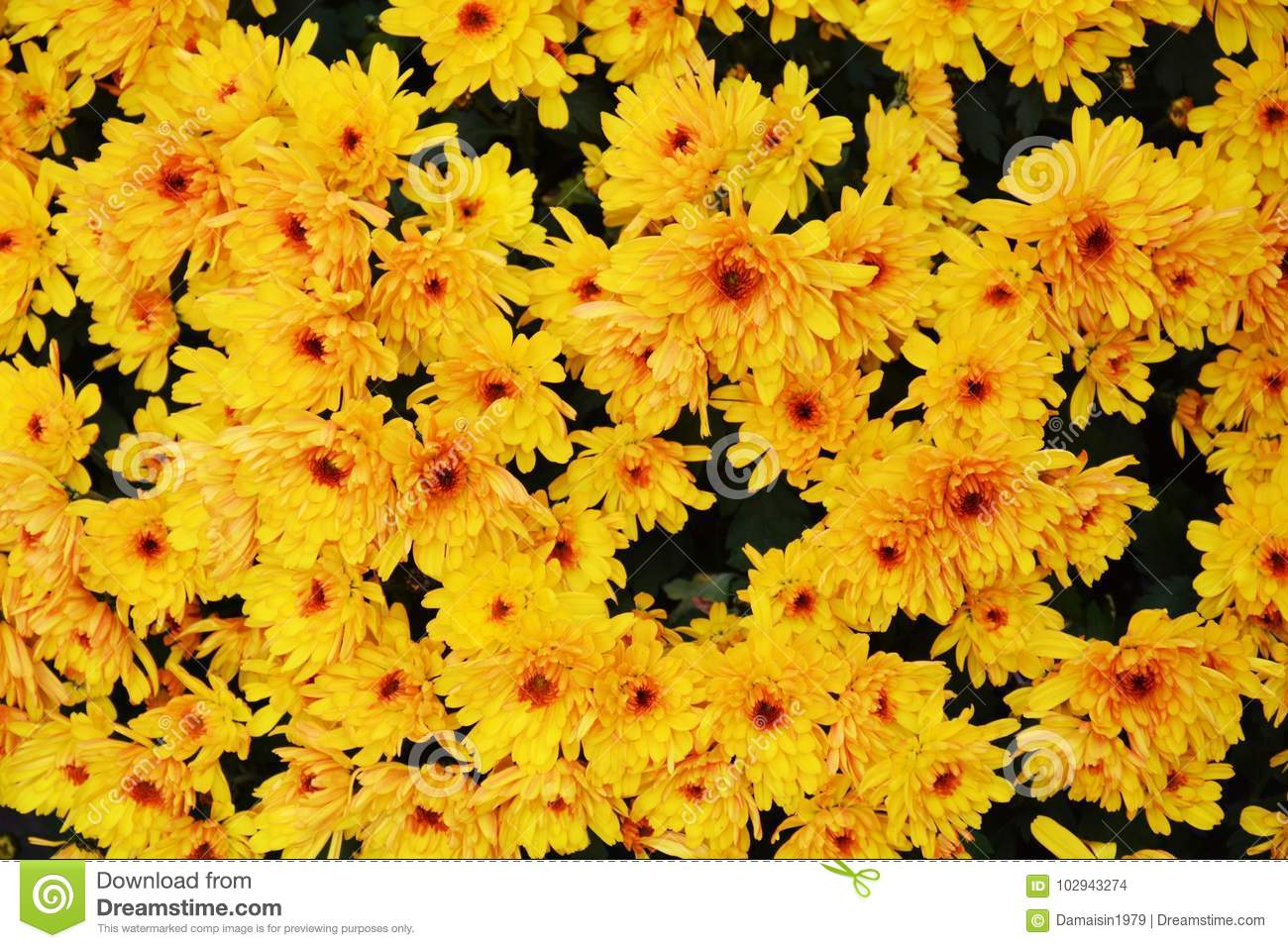 Lots Of Yellow Flowers Flowers Petals Natural Background Garden