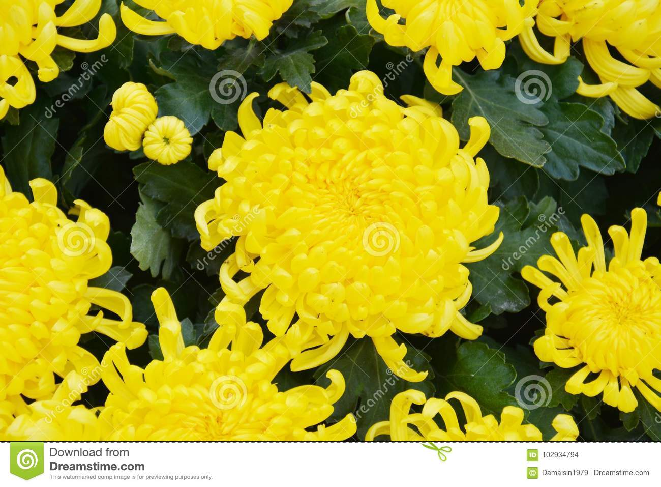 Lots Of Yellow Flowers And Petals Natural Background Garden Beauty