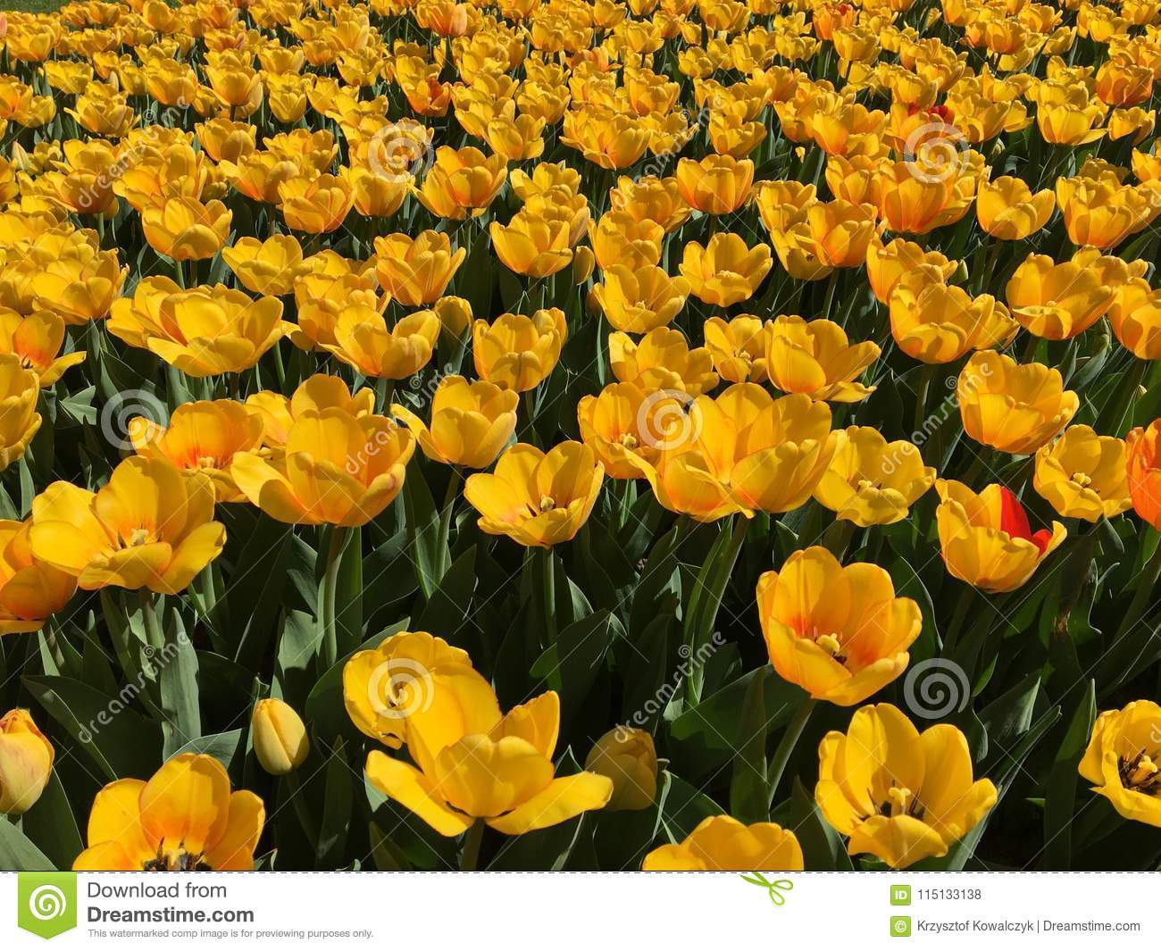 Lots Of Yellow Tulip Flowers Name Beauty Of Spring Stock Photo