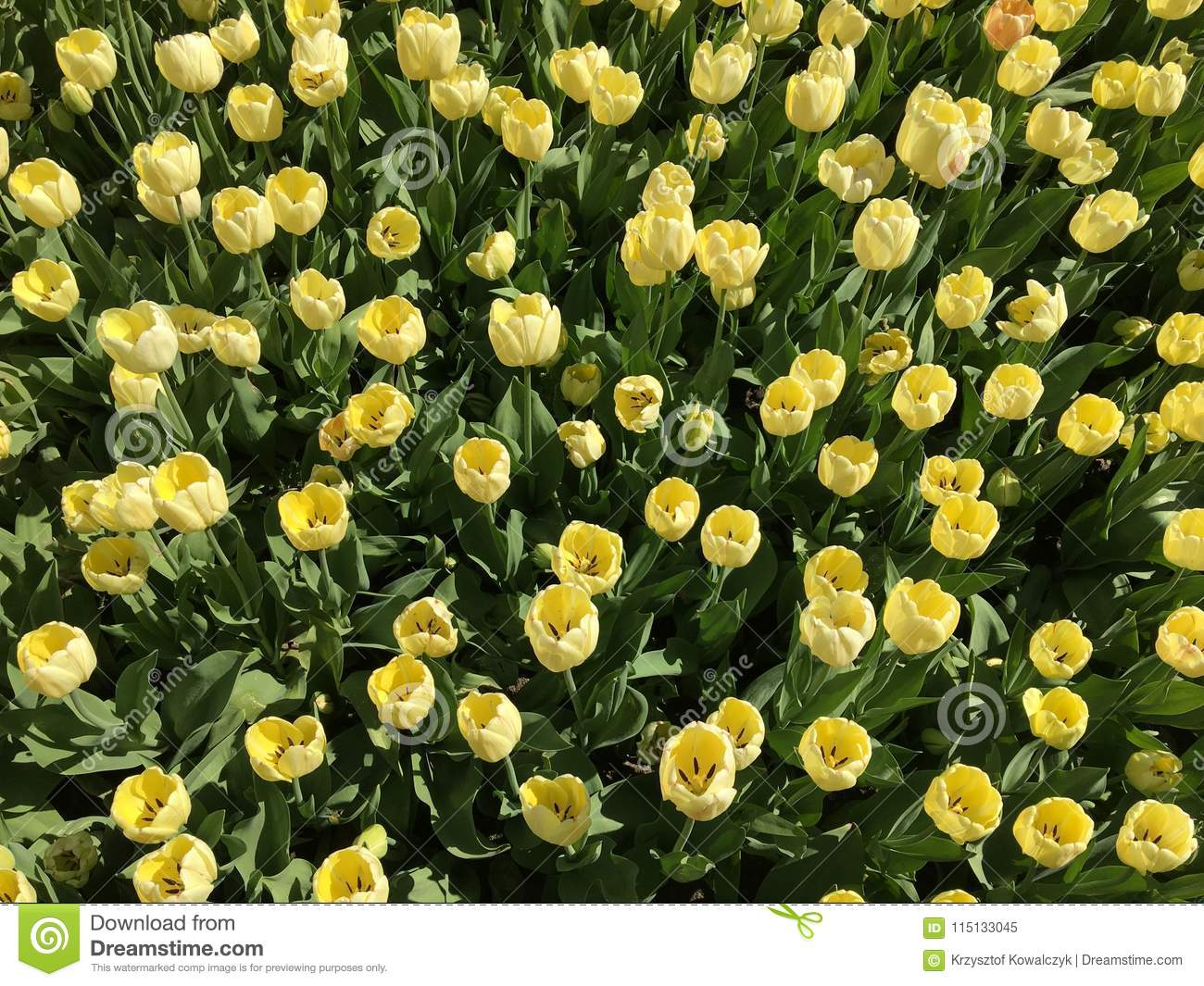 Lots Of Yellow Tulip Flowers Name Ivory Floradale Stock Image