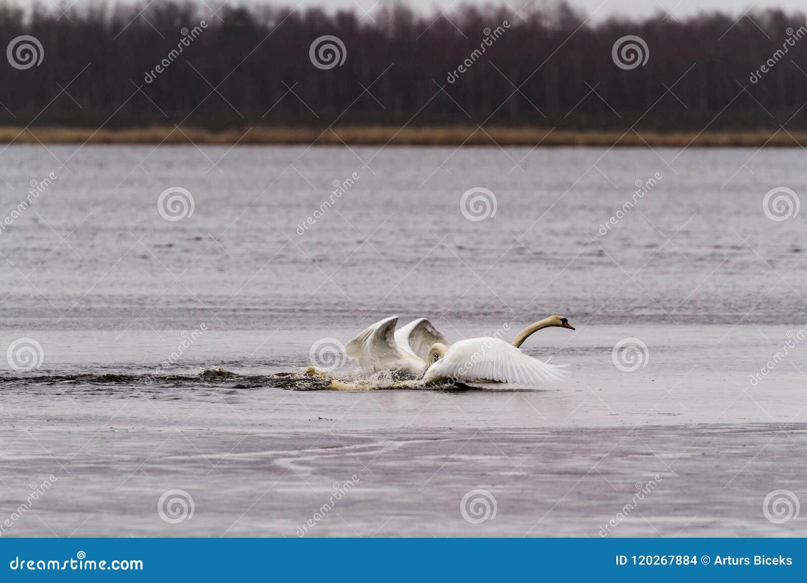Lotta dei cigni nel lago