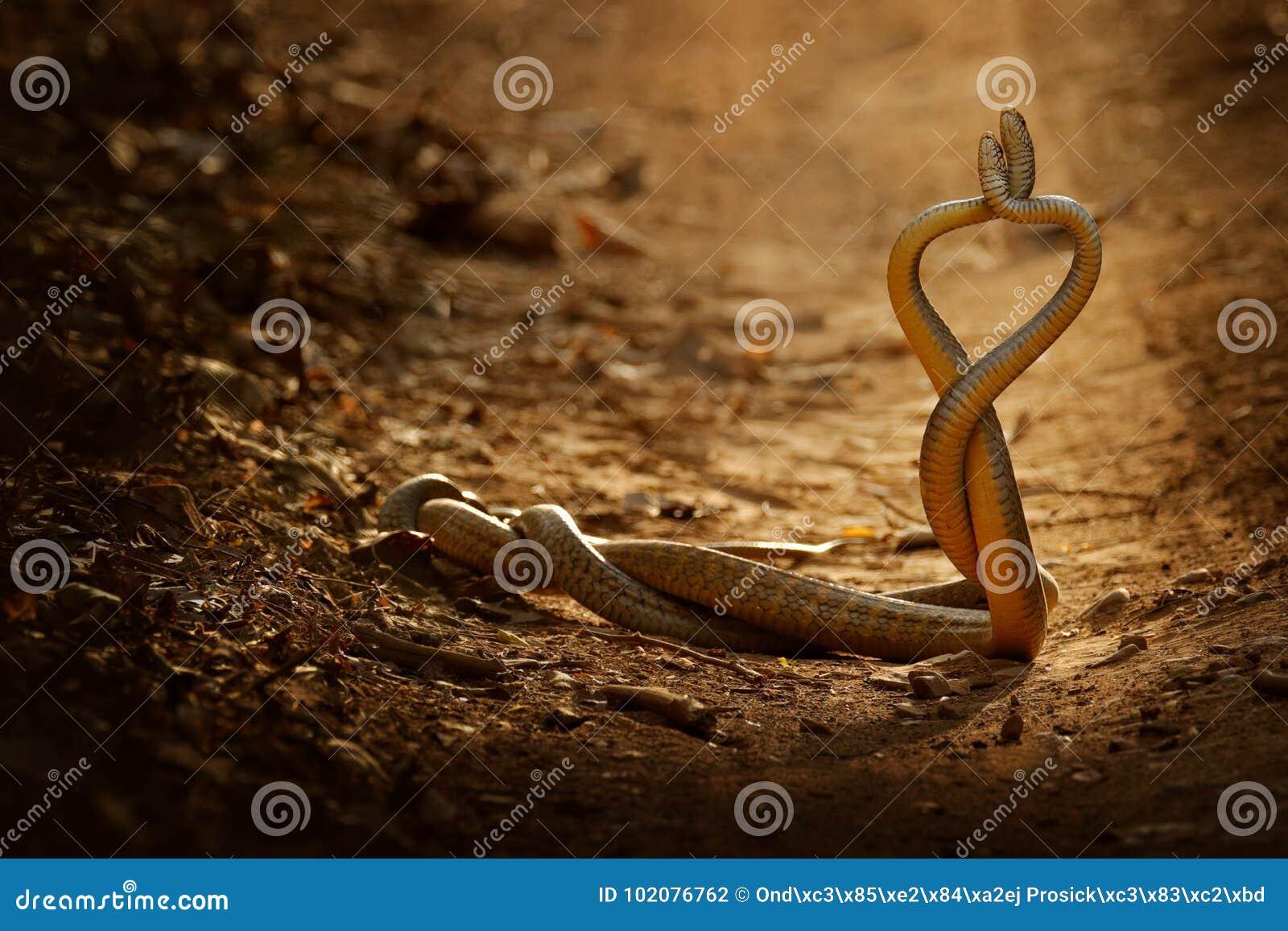 Lotta del serpente Serpente di ratto indiano, mucosa del Ptyas Due serpenti indiani atossici intrecciati nell amore ballano sulla