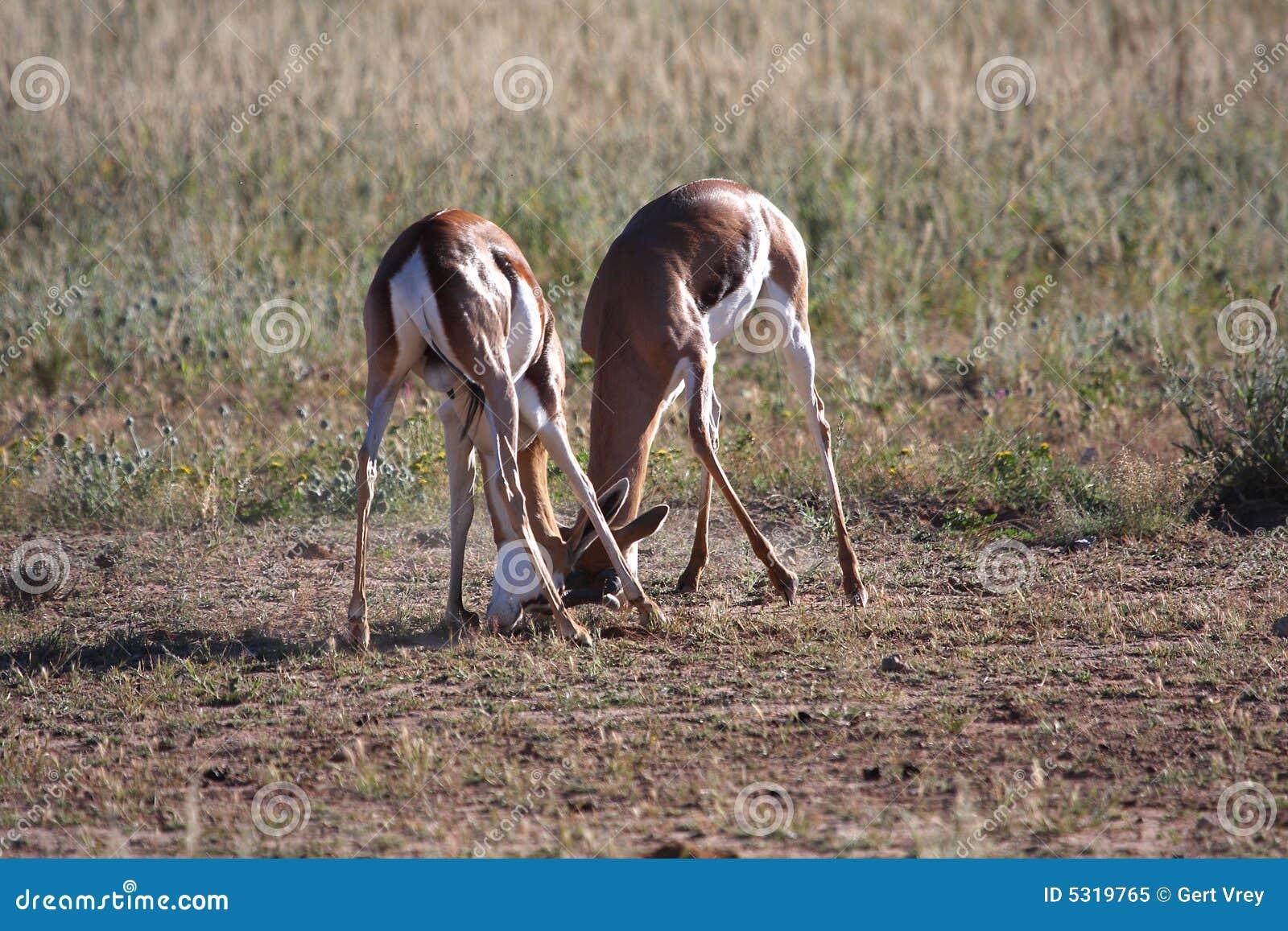 Download Lotta Dell'antilope Saltante Immagine Stock - Immagine di grazer, giovane: 5319765