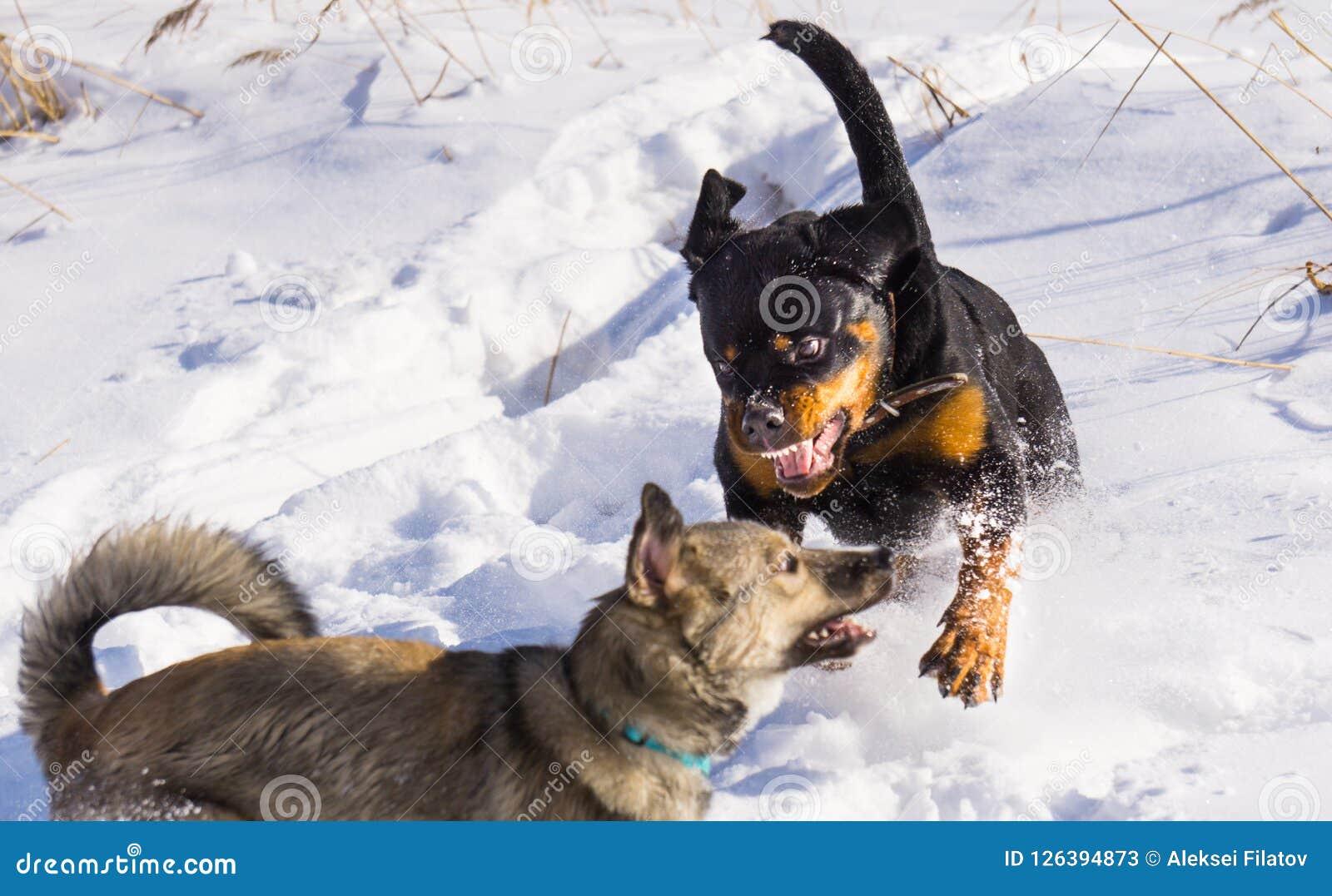 Lotta di cane nell inverno