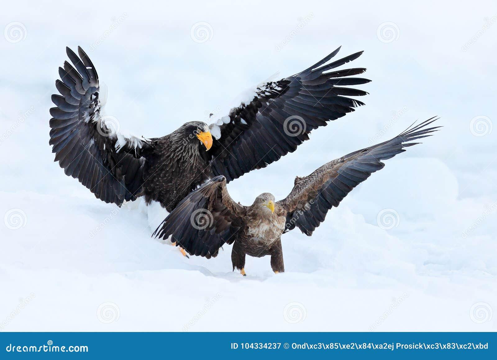 Lotta di Eagle in neve bianca Scena di comportamento di azione della fauna selvatica dalla natura Volo di Eagle con il pesce Bell