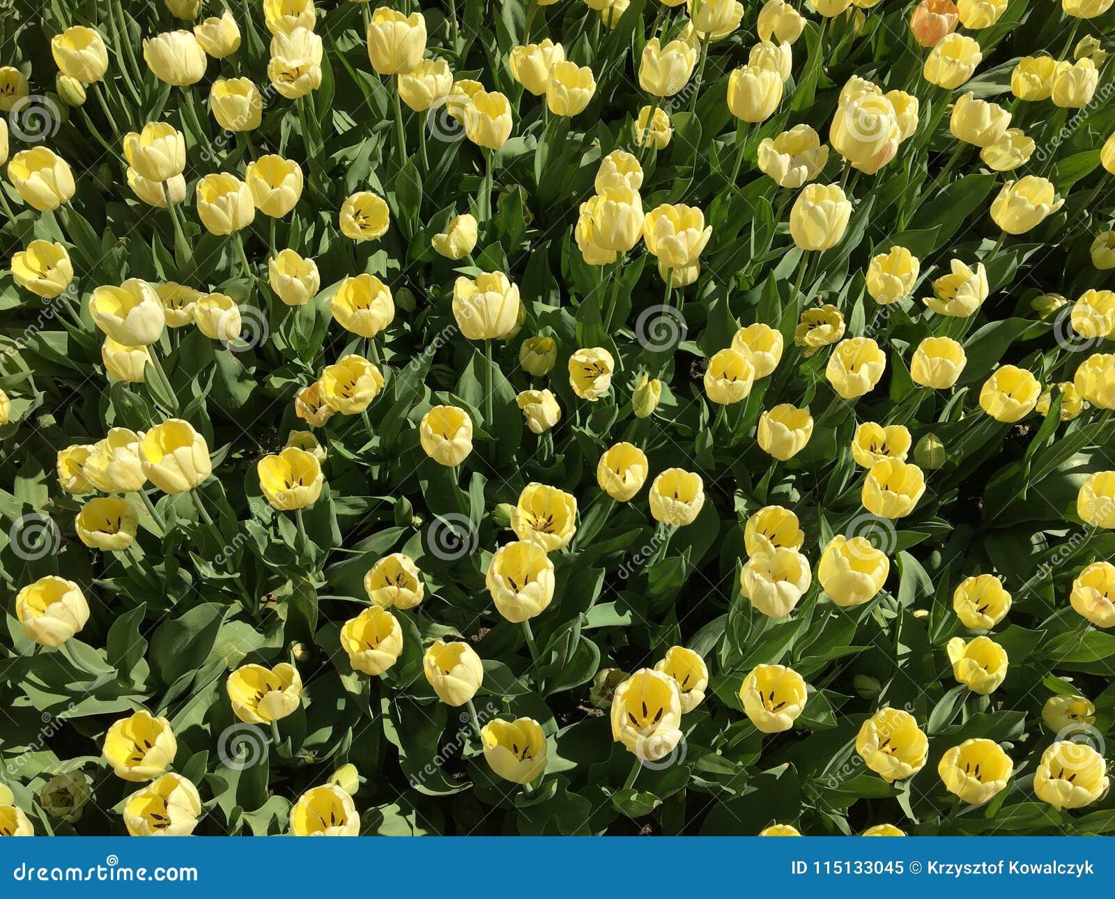 Fiori Gialli Nomi.Lotti Dei Fiori Gialli Del Tulipano Nome Avorio Floradale