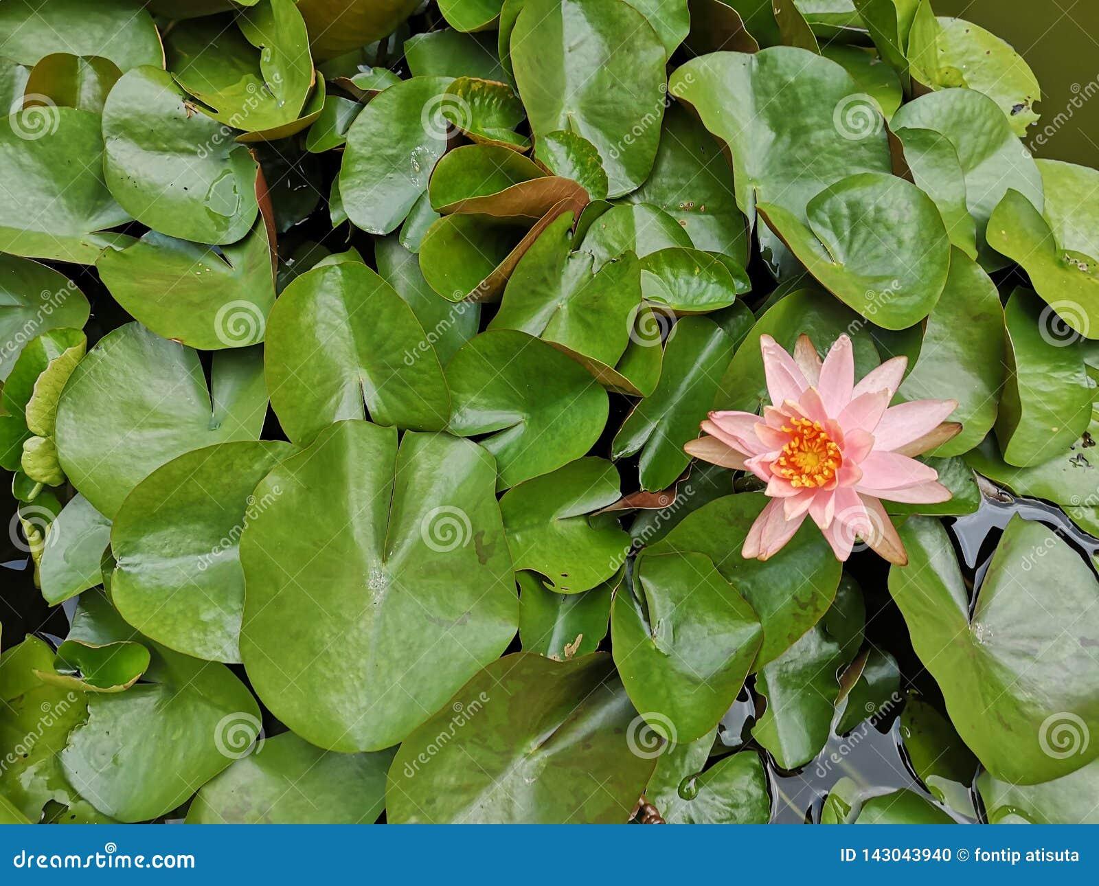 Lotus flower Pink rose color
