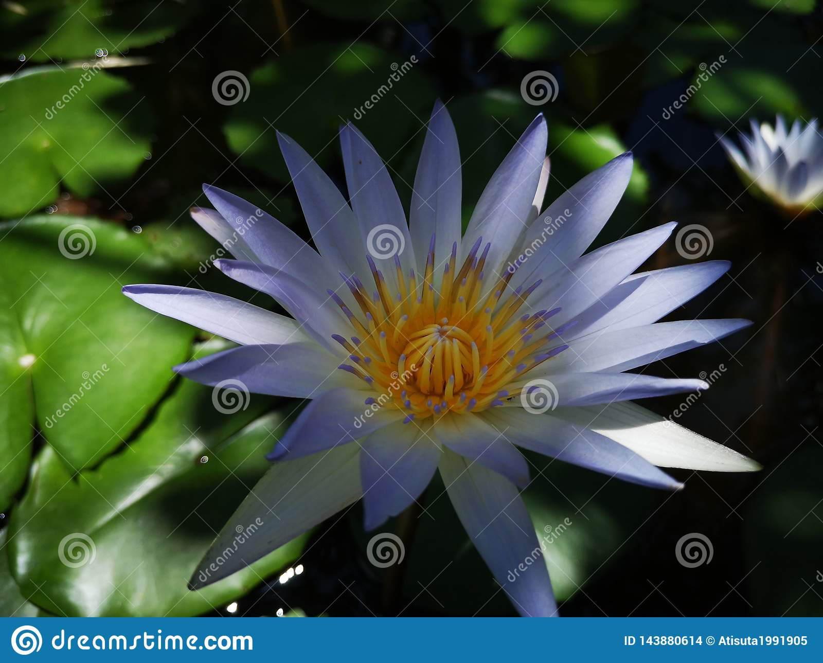 Lotus†‹lily†‹water†‹plant†‹â€ ‹white†‹blue†‹color†‹tropical†‹flower†‹