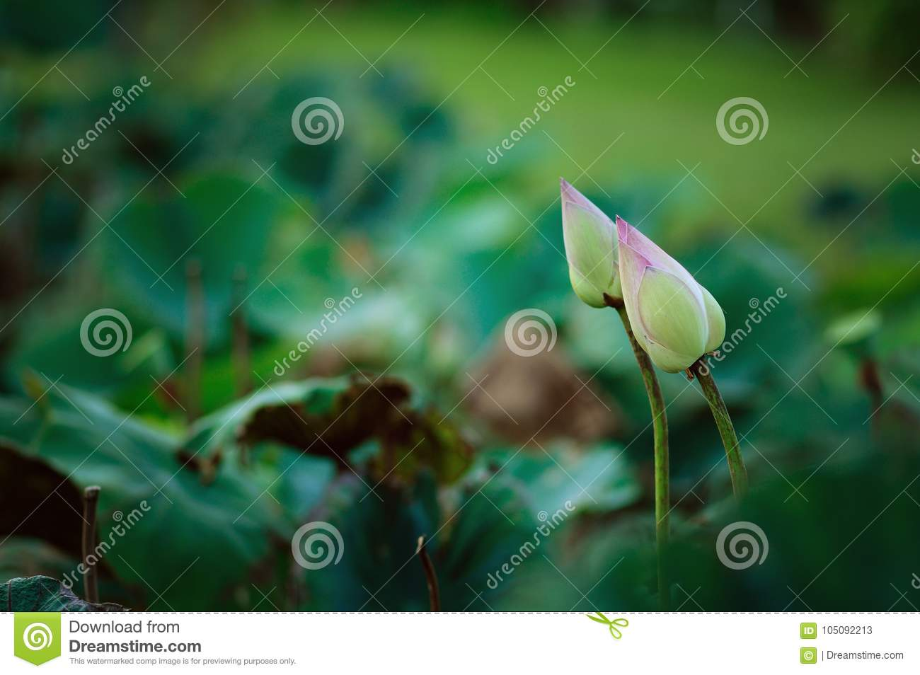 Lotus buds in green fields stock image image of symbol 105092213 royalty free stock photo izmirmasajfo