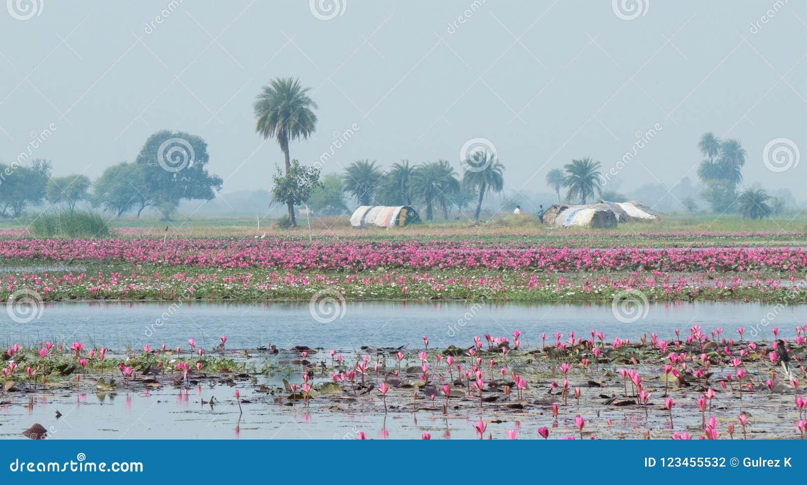 Lotus που καλλιεργεί σε Gulawat κοντά σε Indore