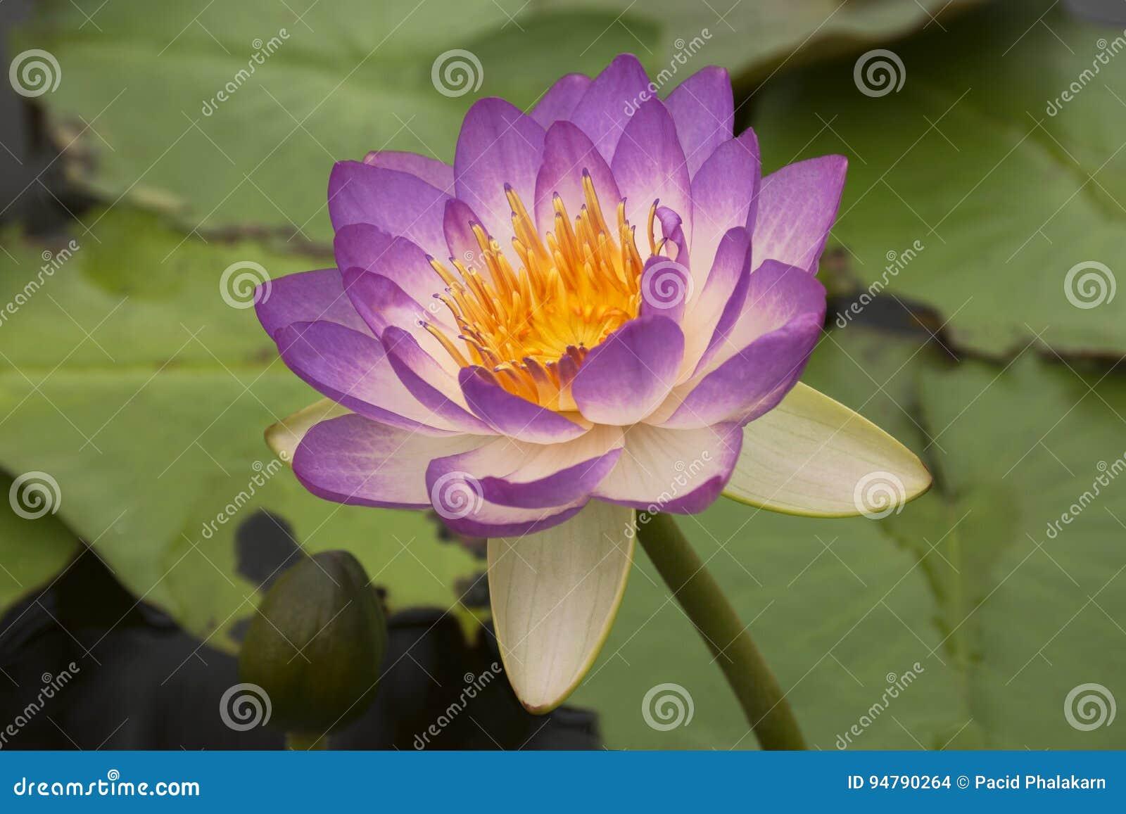 Lotus 71