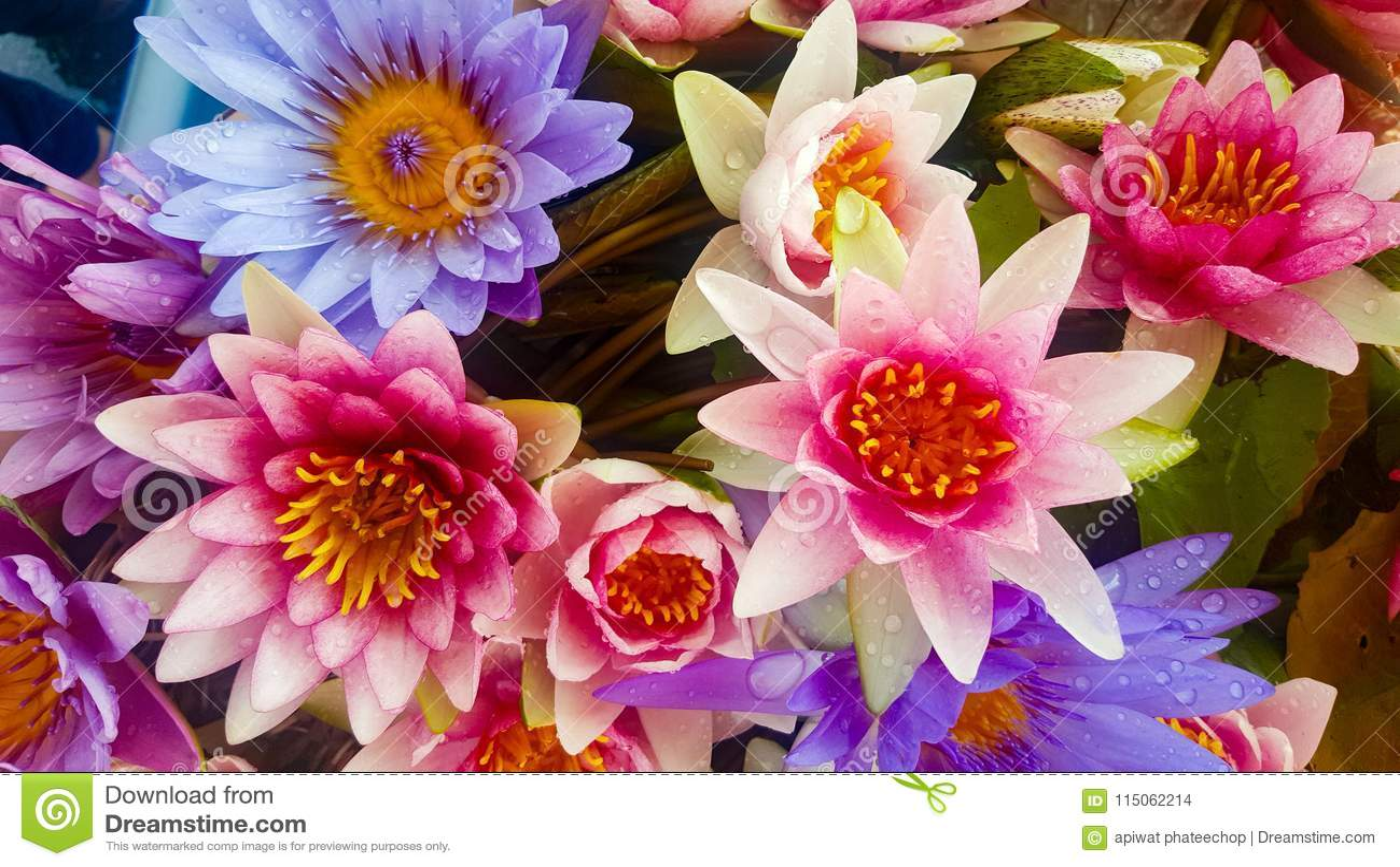 Lotus Background Stock Photo Image Of Blossom Screensaver 115062214