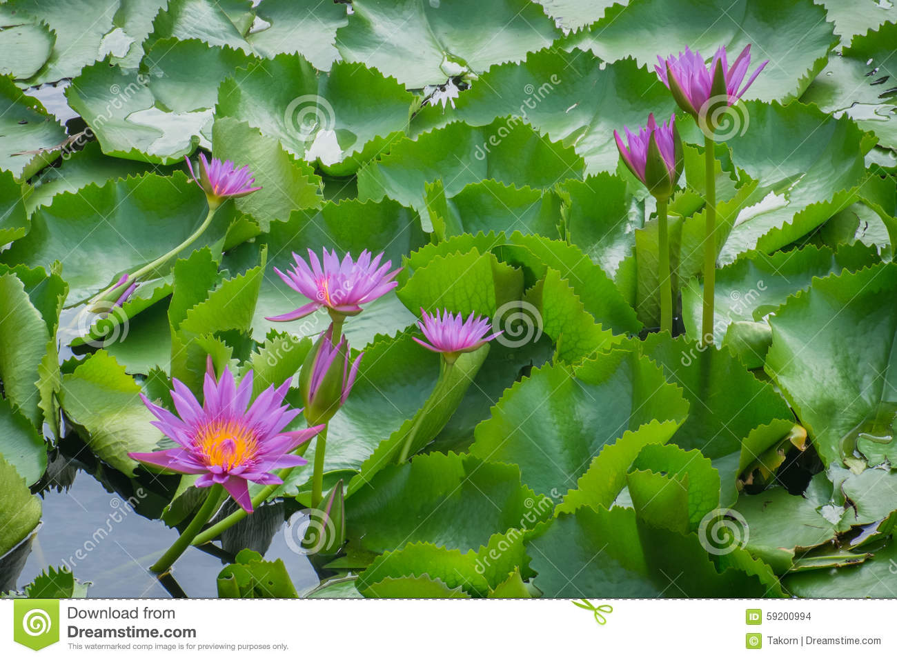 lotus beautiful summer pink nature beauty color
