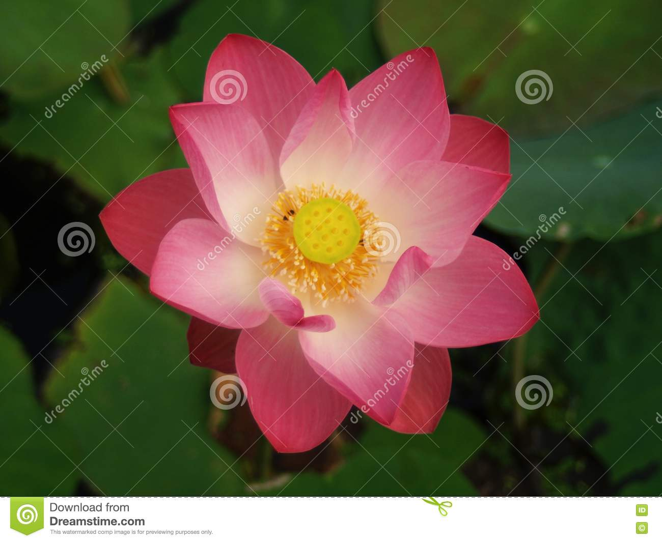 Lotusthe Beautiful Water Flowers Stock Photo Image Of Colorful
