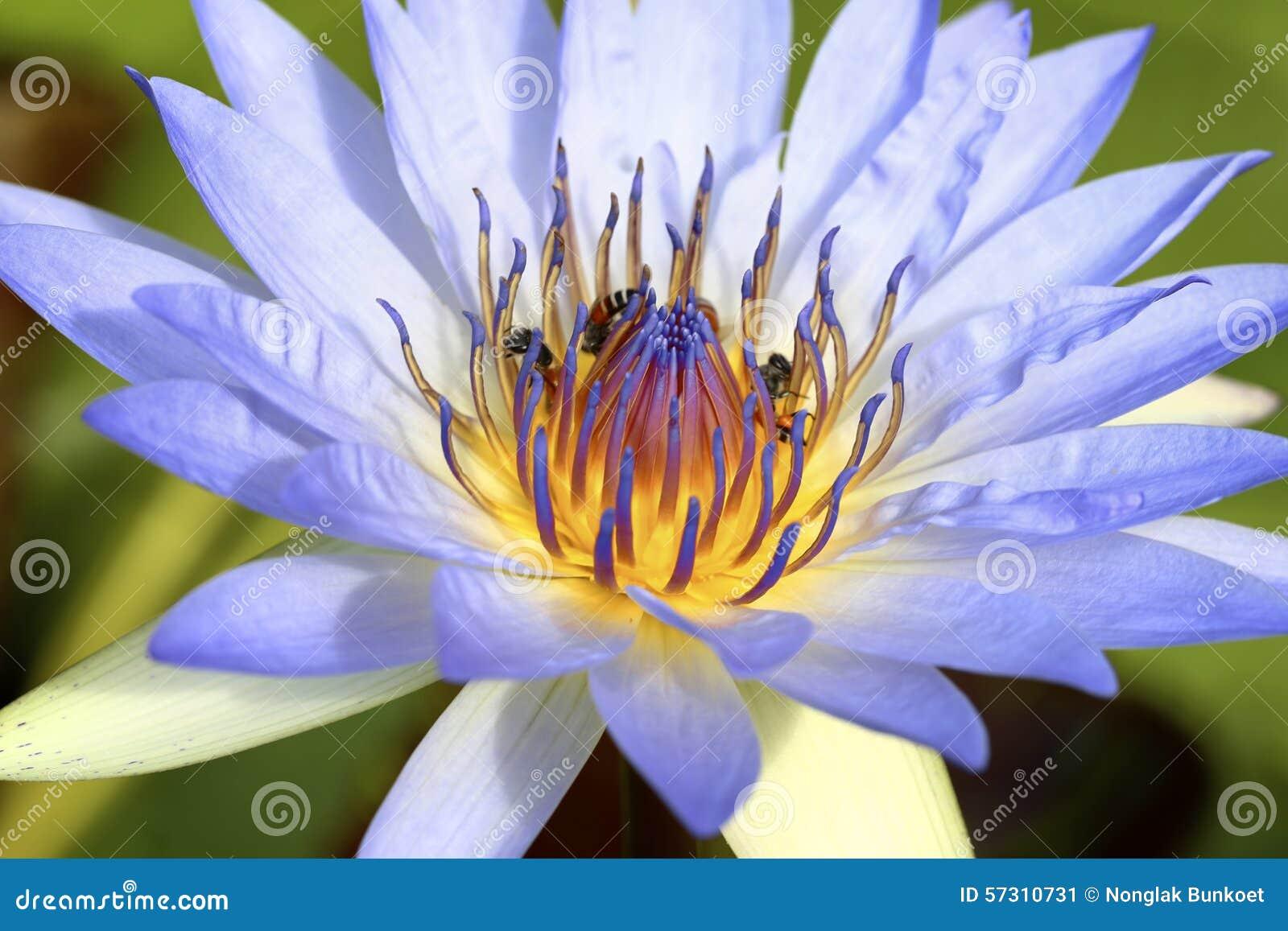 Lotus Bleu Clair Image Stock Image Du Paix Fleur Lotus 57310731