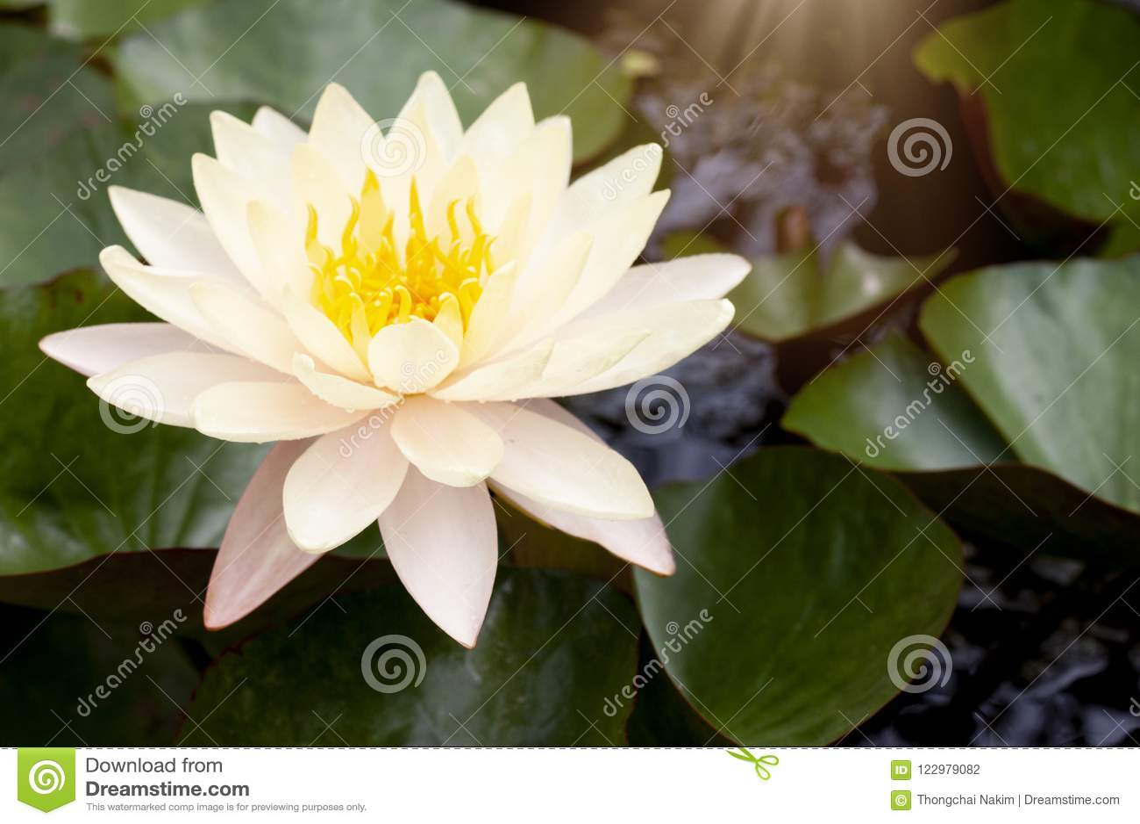 Lotus-bloem op waterpot