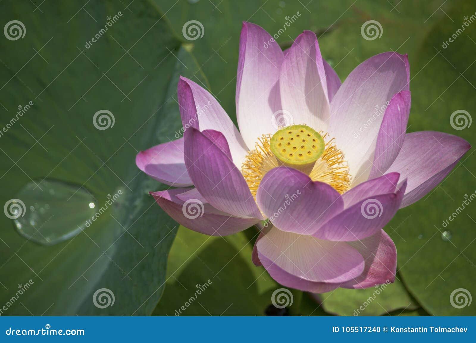 Lotus blomma/lotusblomma/natur av den avlägsna öst av Ryssland
