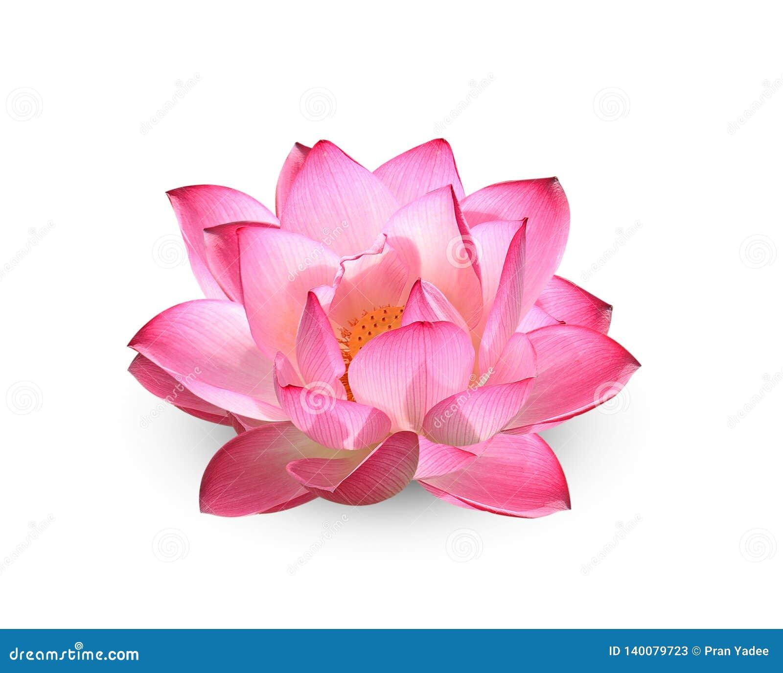 Lotus blomma på vit bakgrund