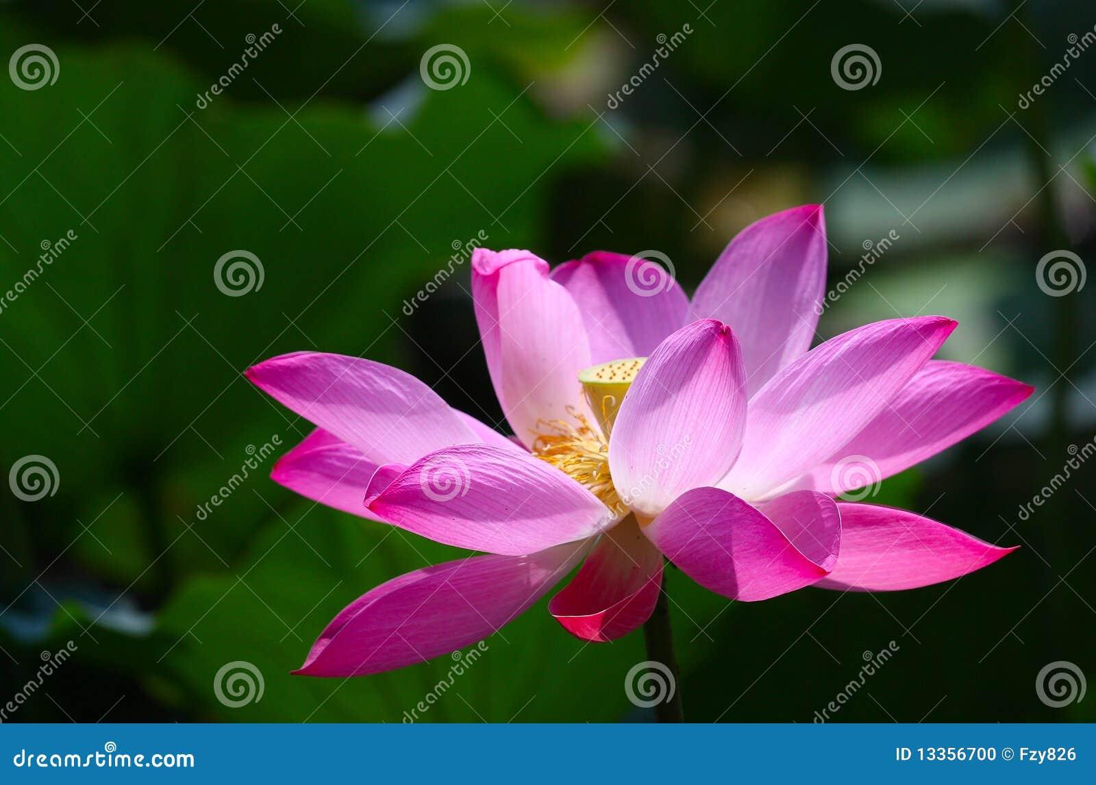 lotus bloom stock photo image 13356700. Black Bedroom Furniture Sets. Home Design Ideas