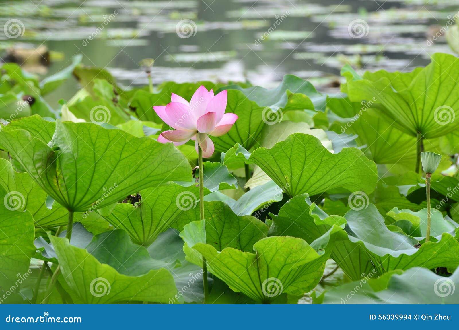 The lotus bloom in the yangcheng lake peninsula at suzhou china royalty free stock photo izmirmasajfo
