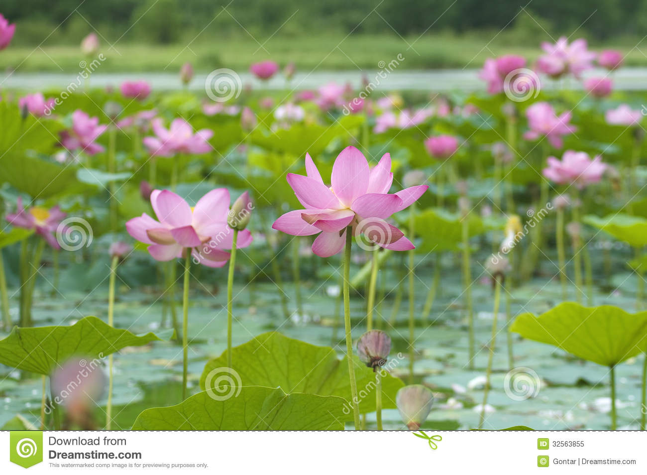 lotus blossoms royalty free stock photo  image, Beautiful flower