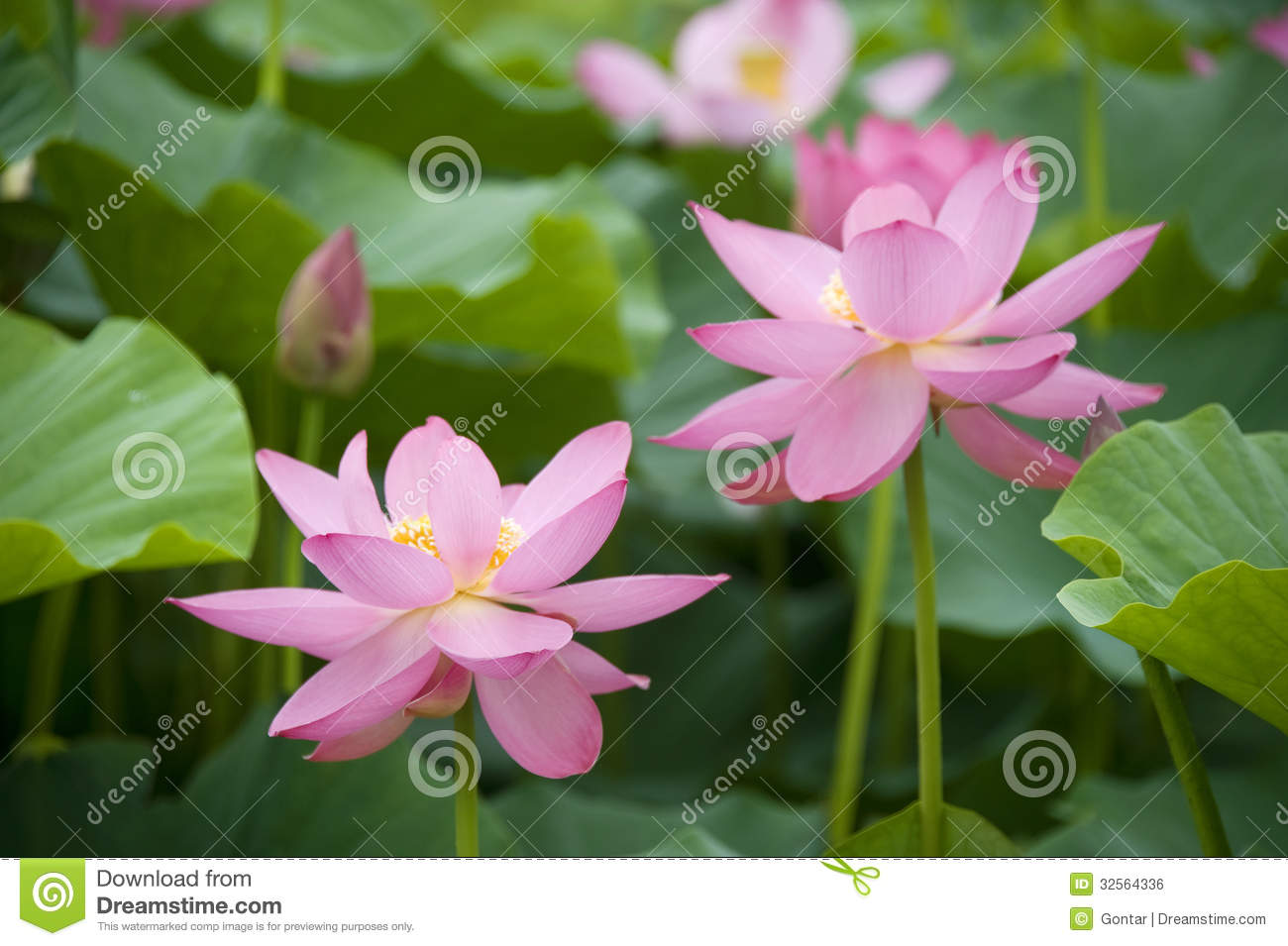 lotus blossoms stock photos, images,  pictures   images, Beautiful flower