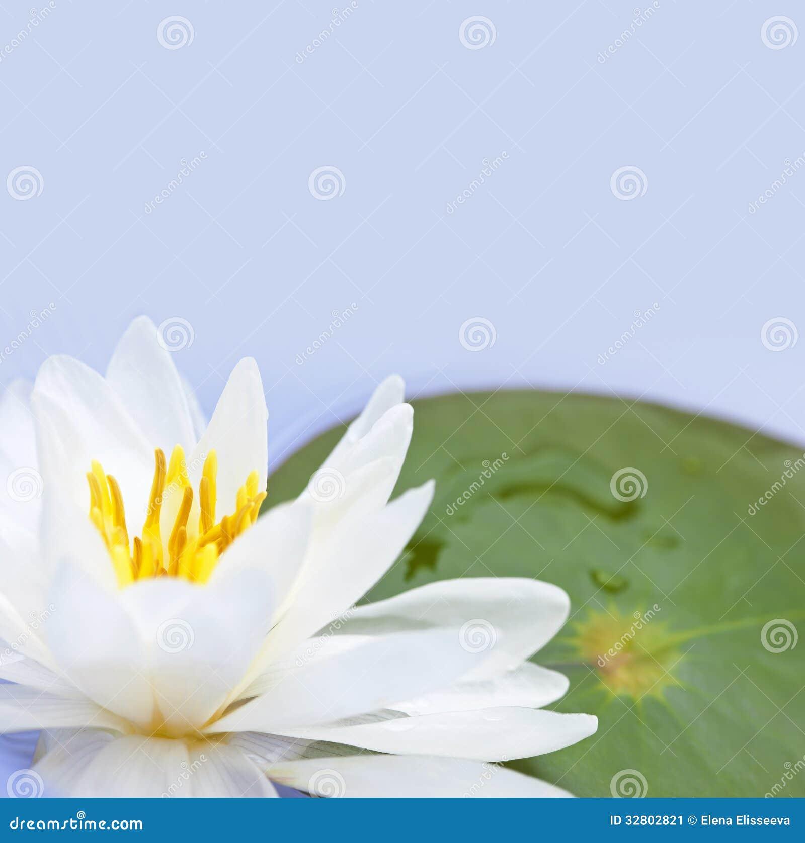 lotus blume stockbild bild 32802821. Black Bedroom Furniture Sets. Home Design Ideas