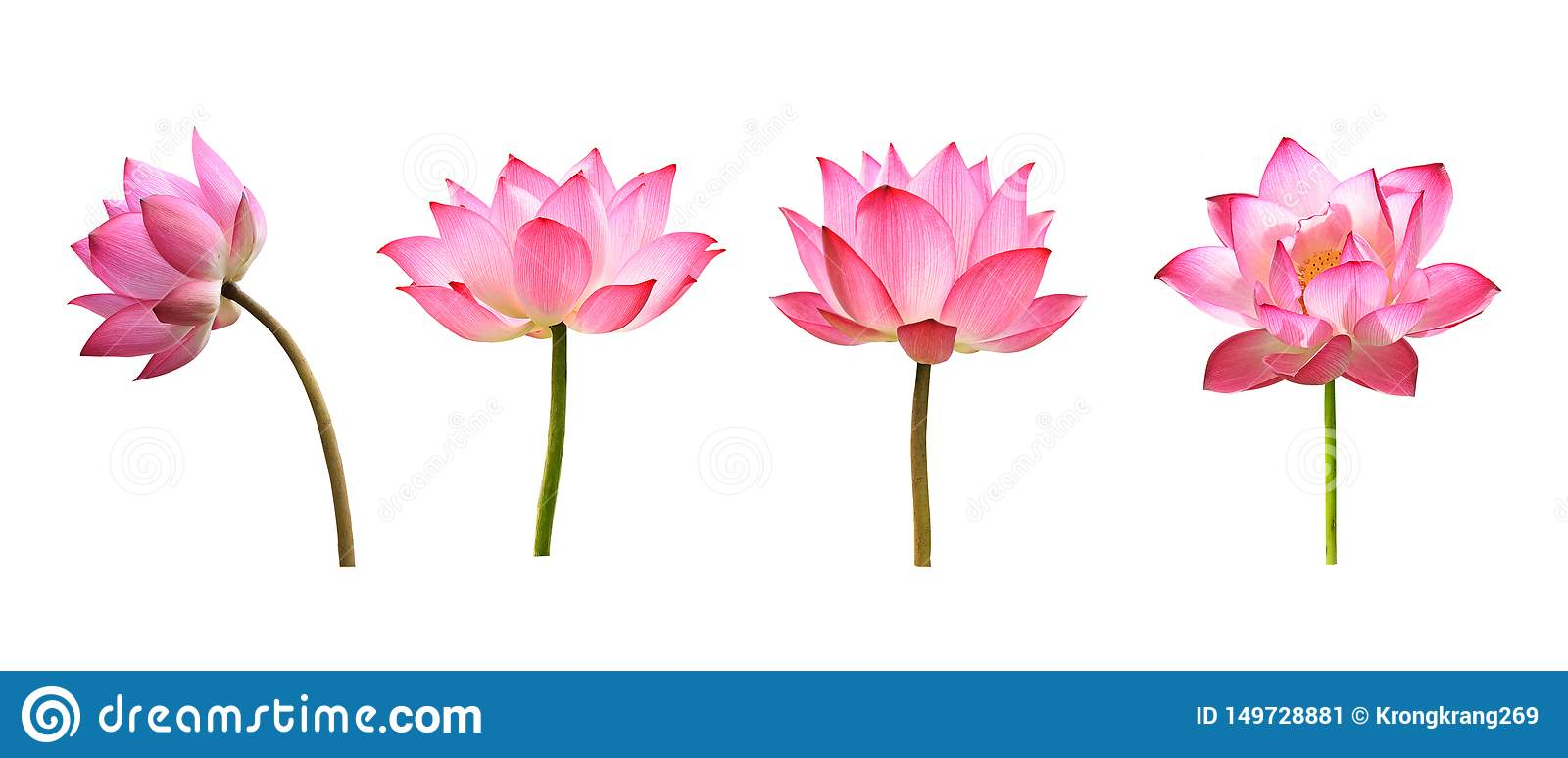 Lotus-Blume auf wei?em Hintergrund