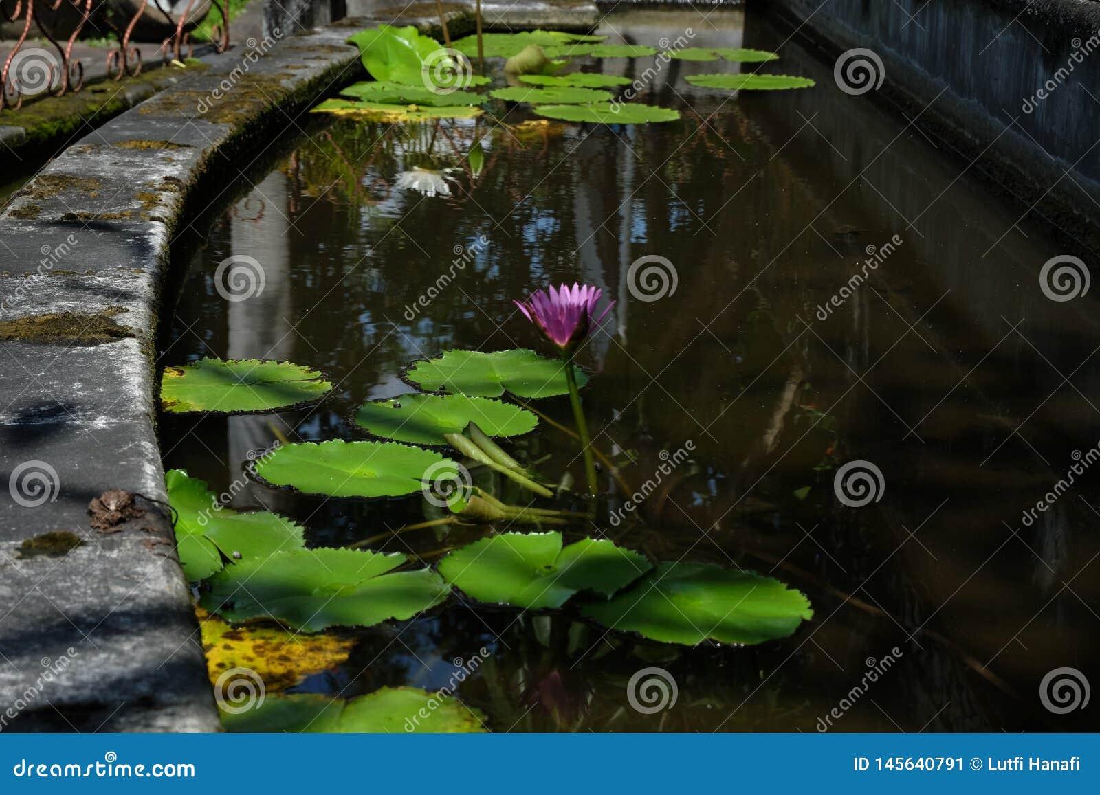 Lotus-Blume, ist eine Blume, die im Wasser w?chst in etwas Mythologien und in Glauben sind heilige Blumen