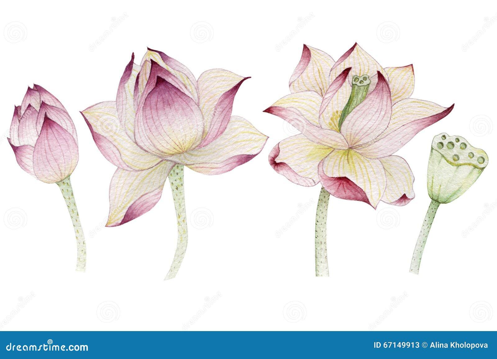 lotus blumen gemalt im aquarell stock abbildung bild 67149913. Black Bedroom Furniture Sets. Home Design Ideas