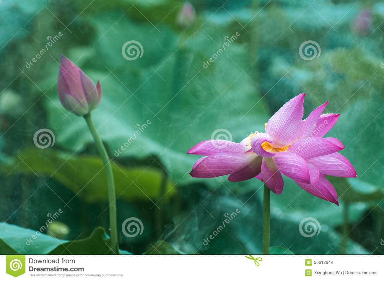 Lotus and bud in the rain stock photo image of foliage 56612644 lotus and bud in the rain izmirmasajfo