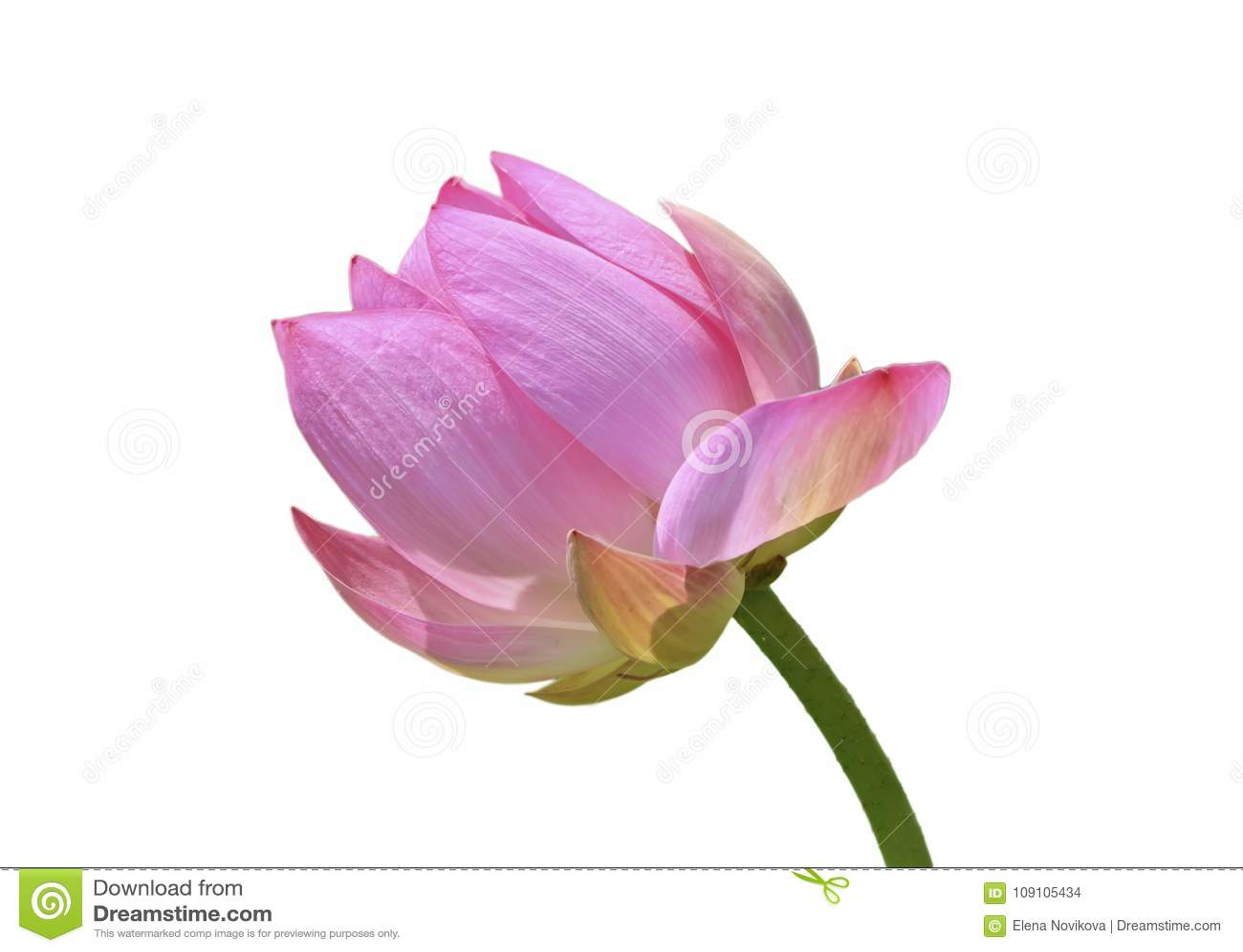 Lotus bud on the stem stock photo image of exotic 109105434 lotus bud on the stem izmirmasajfo