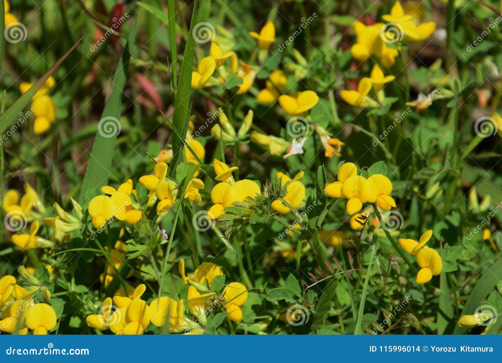 Lotus Corniculatus Flowers Stock Photo Image Of Flower 115996014