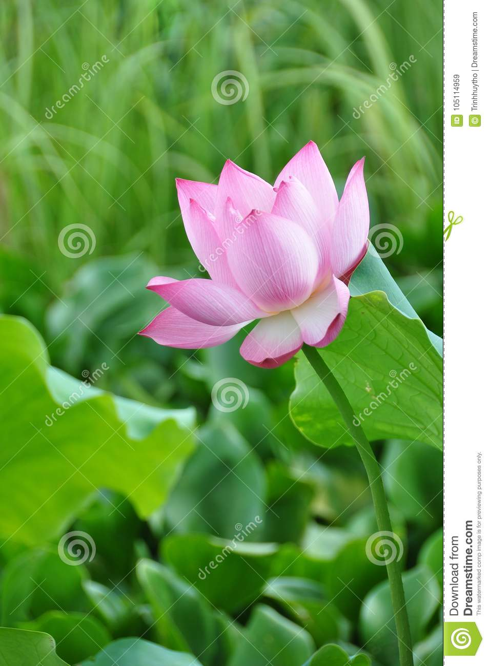 Lotus flower rising from mud to the sunshine stock image image of lotus could have the ability to rise up from the mud bloom out of the darkness and radiate into the sky izmirmasajfo