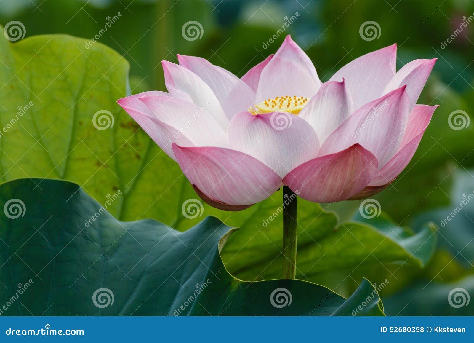 Lotus - De Betekenis Van Verlichting Stock Foto - Afbeelding ...