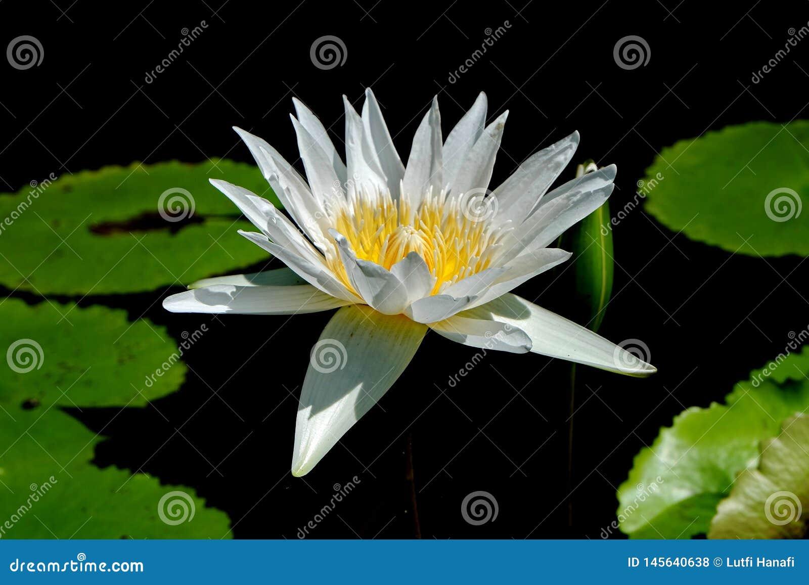 Lotus-de bloem, is een bloem die in het water groeit in sommige mythologieën en geloven zijn heilige bloemen