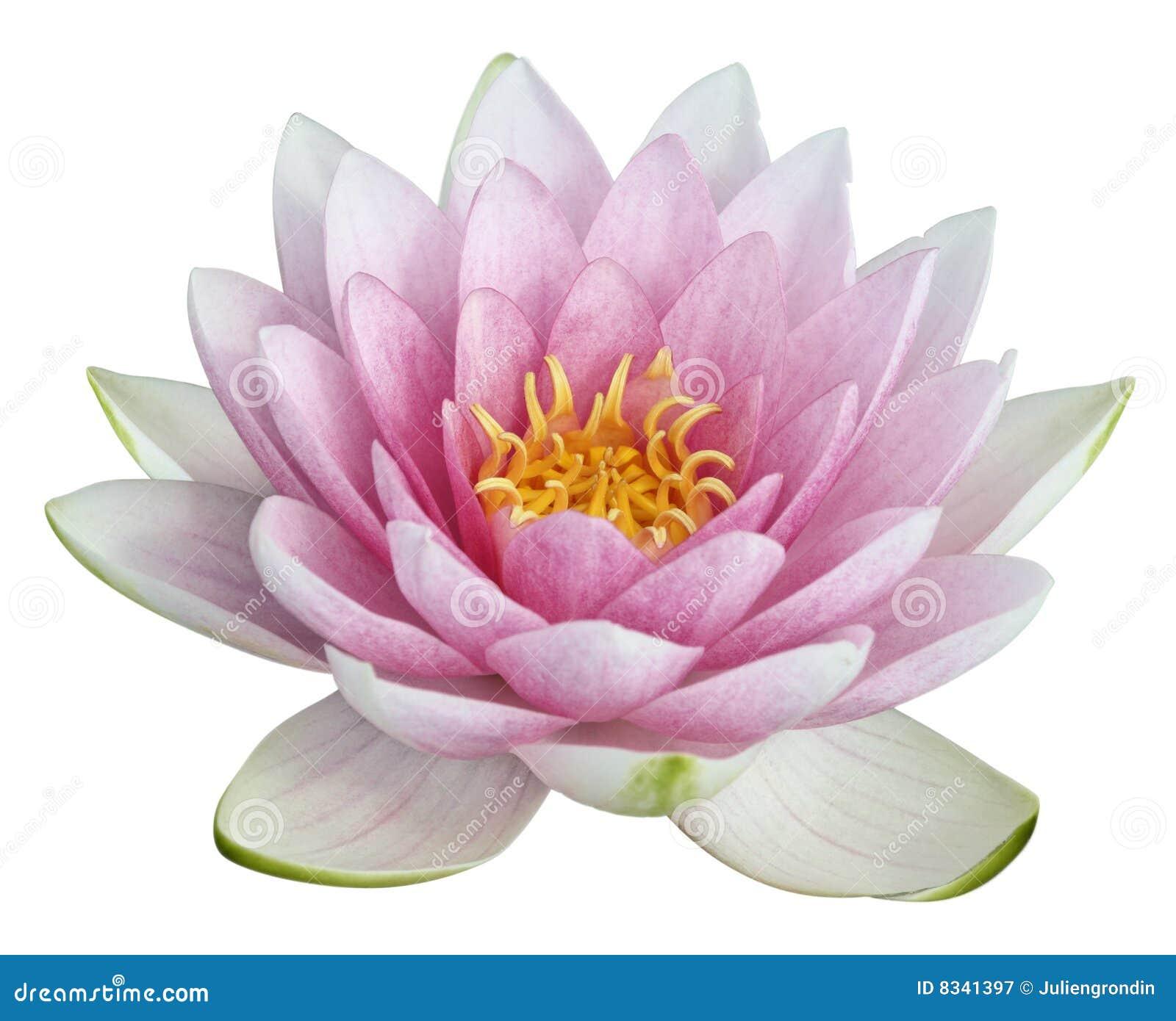 Lotus de fleur